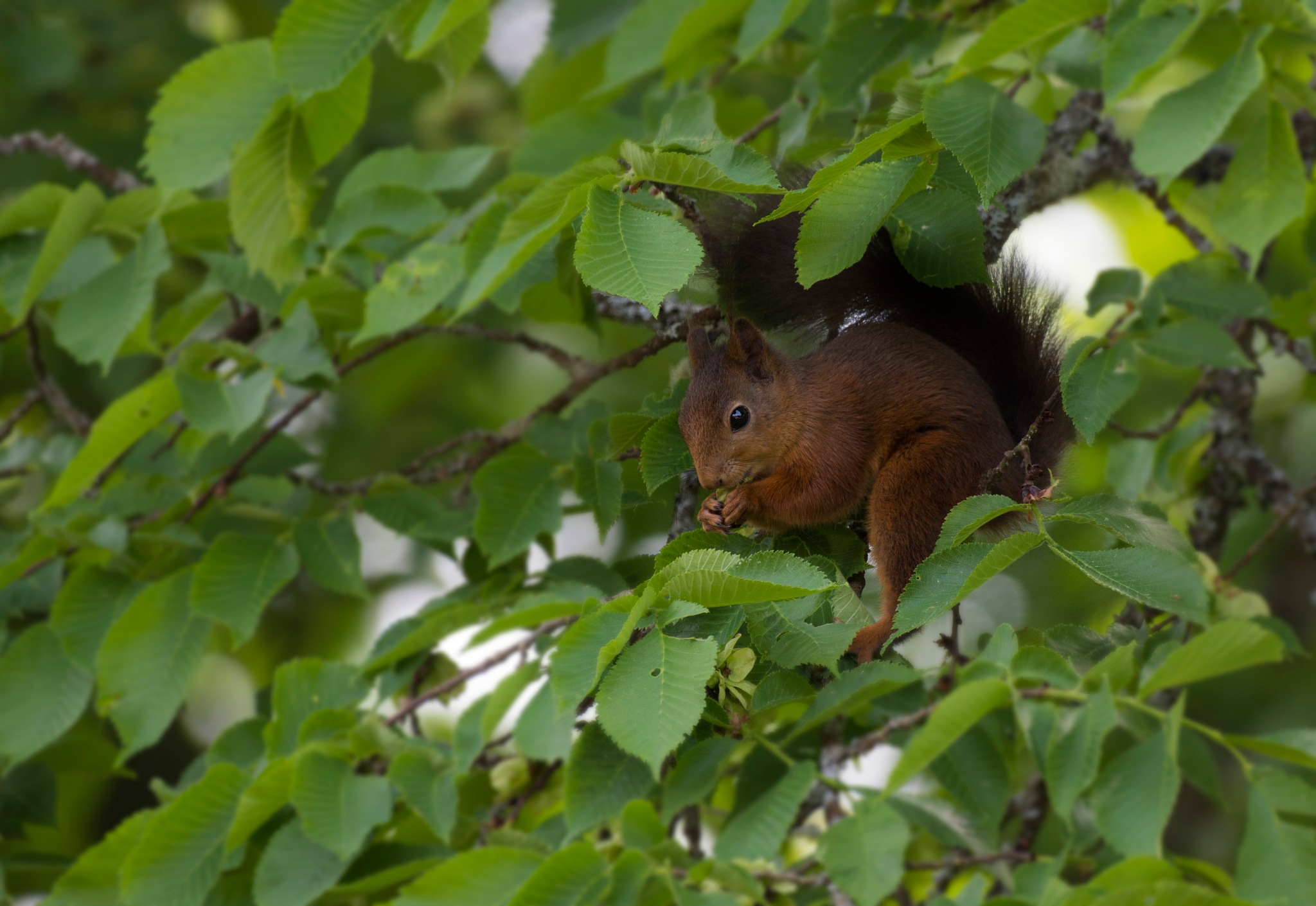 Squirrel in lime tree (linden) by Linda Persson