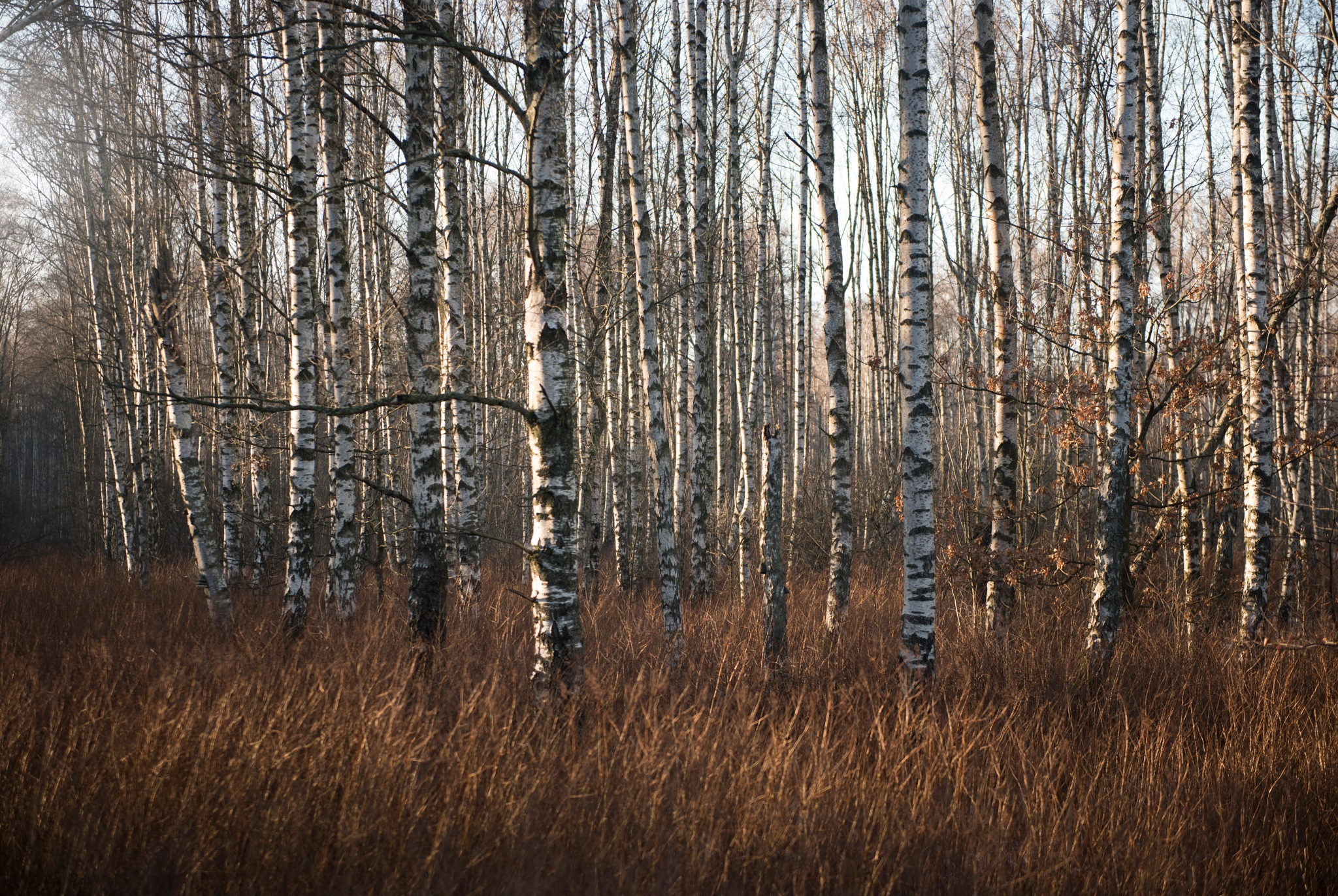 Birch trees by Linda Persson