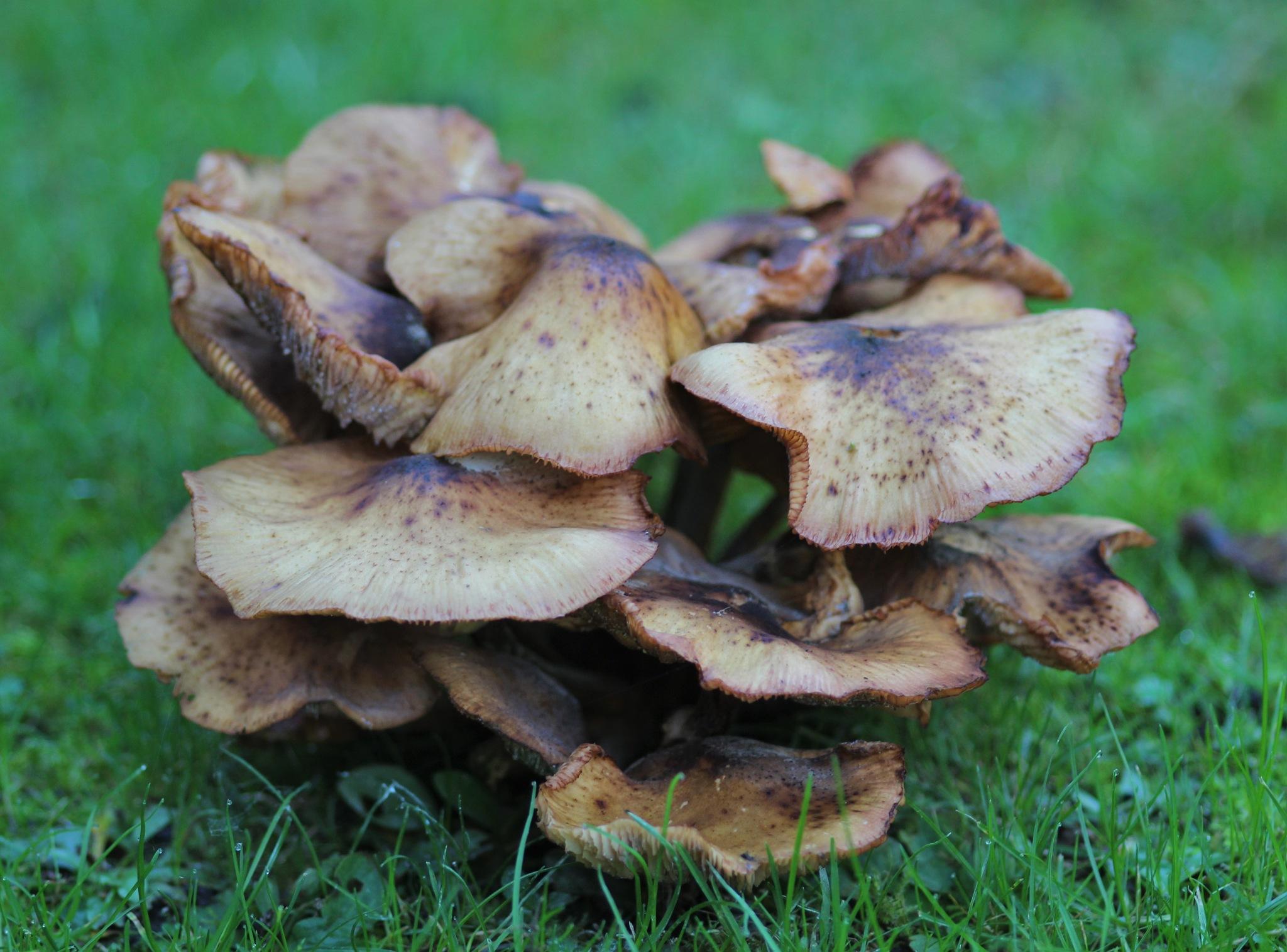 Autumn garden, wild mushrooms by alijhawkins