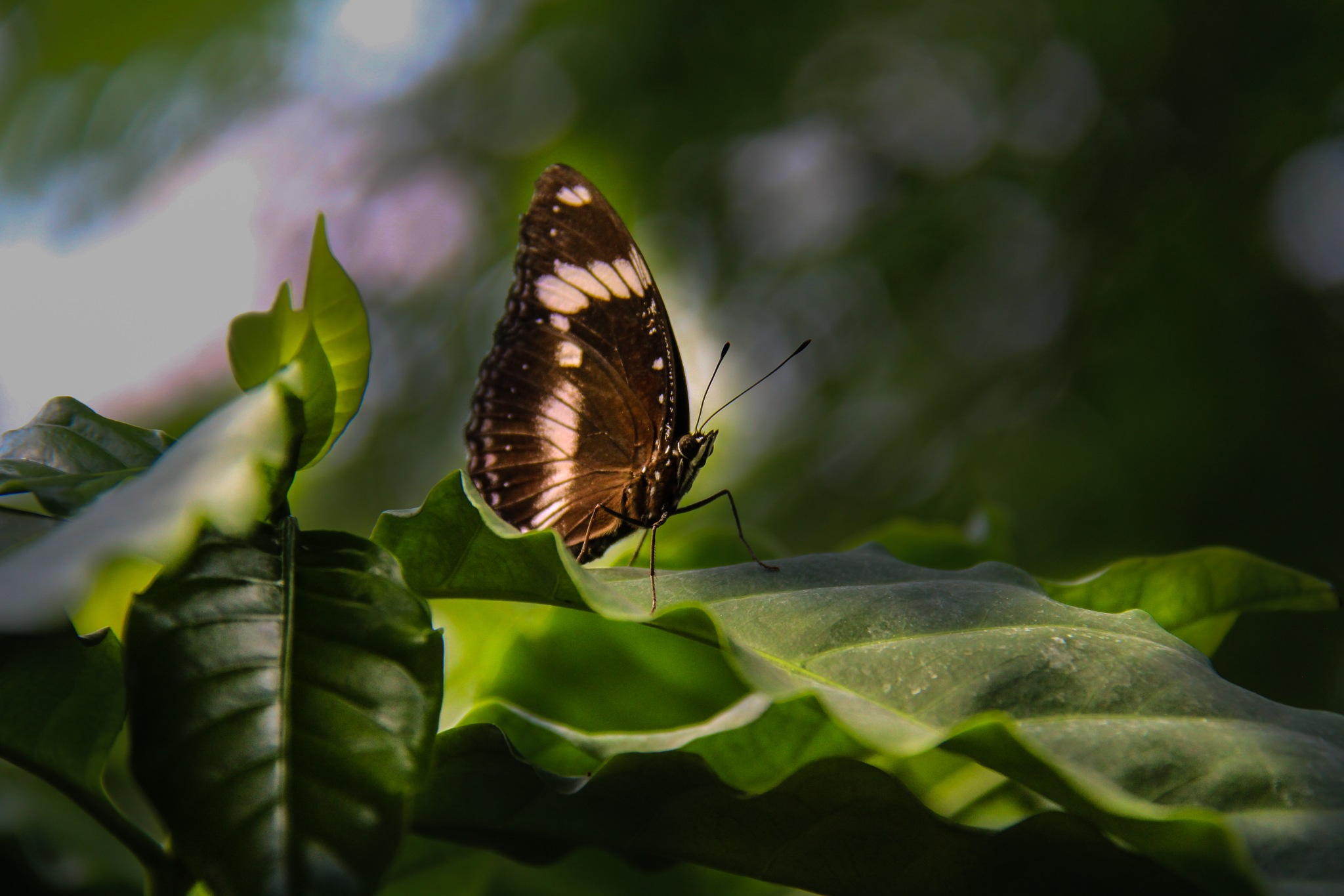 butterfly by adriano.bahamondes