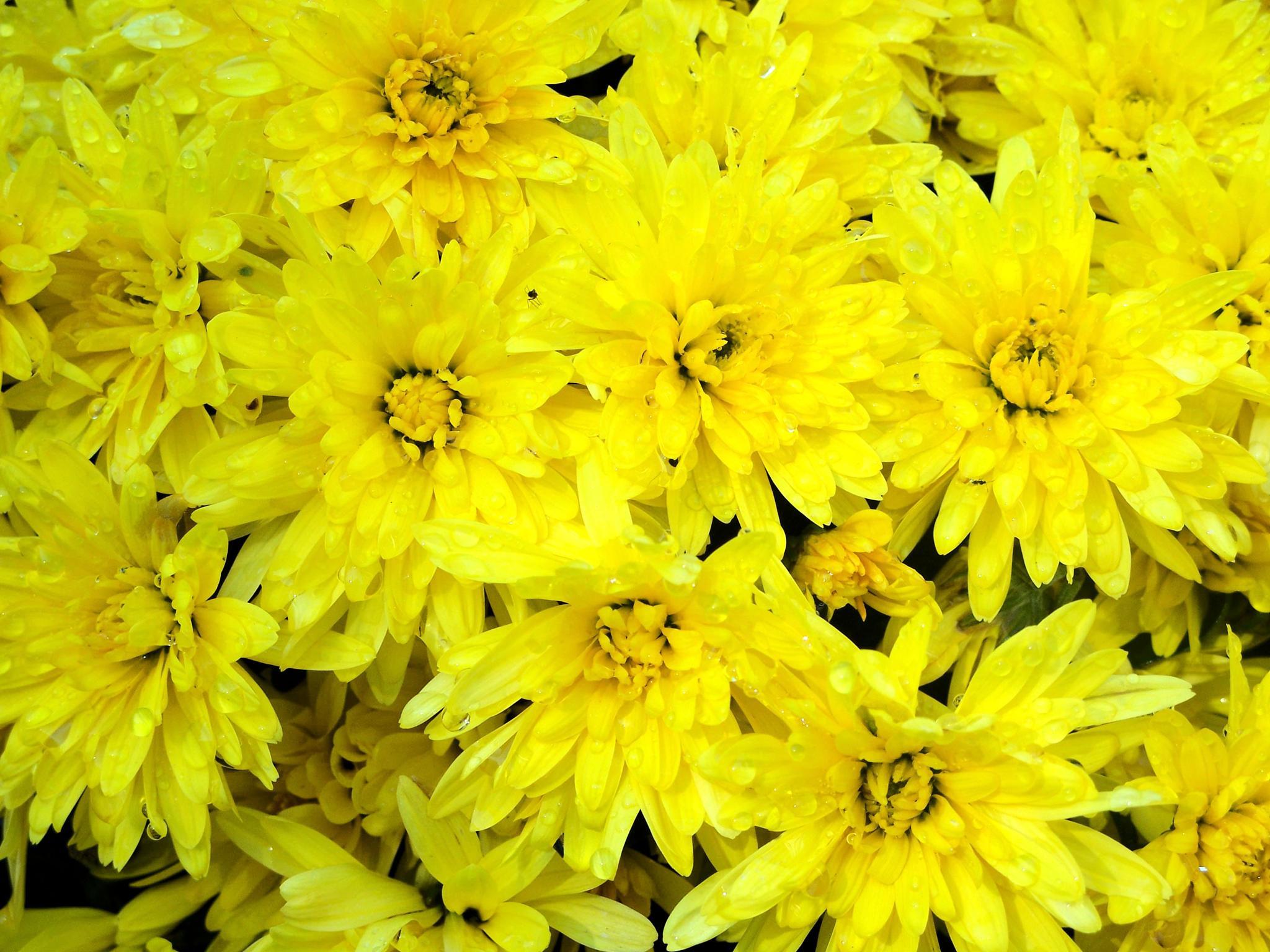 Yellow Extravaganza by wendy.becker.58