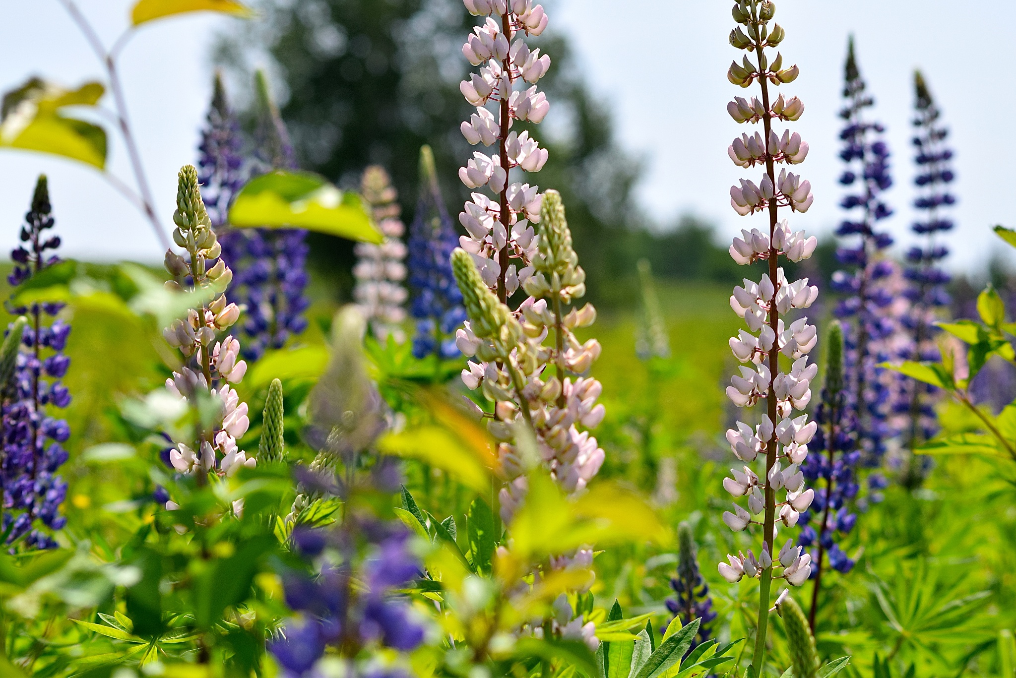 Sea of Lupines by vonda.lavway