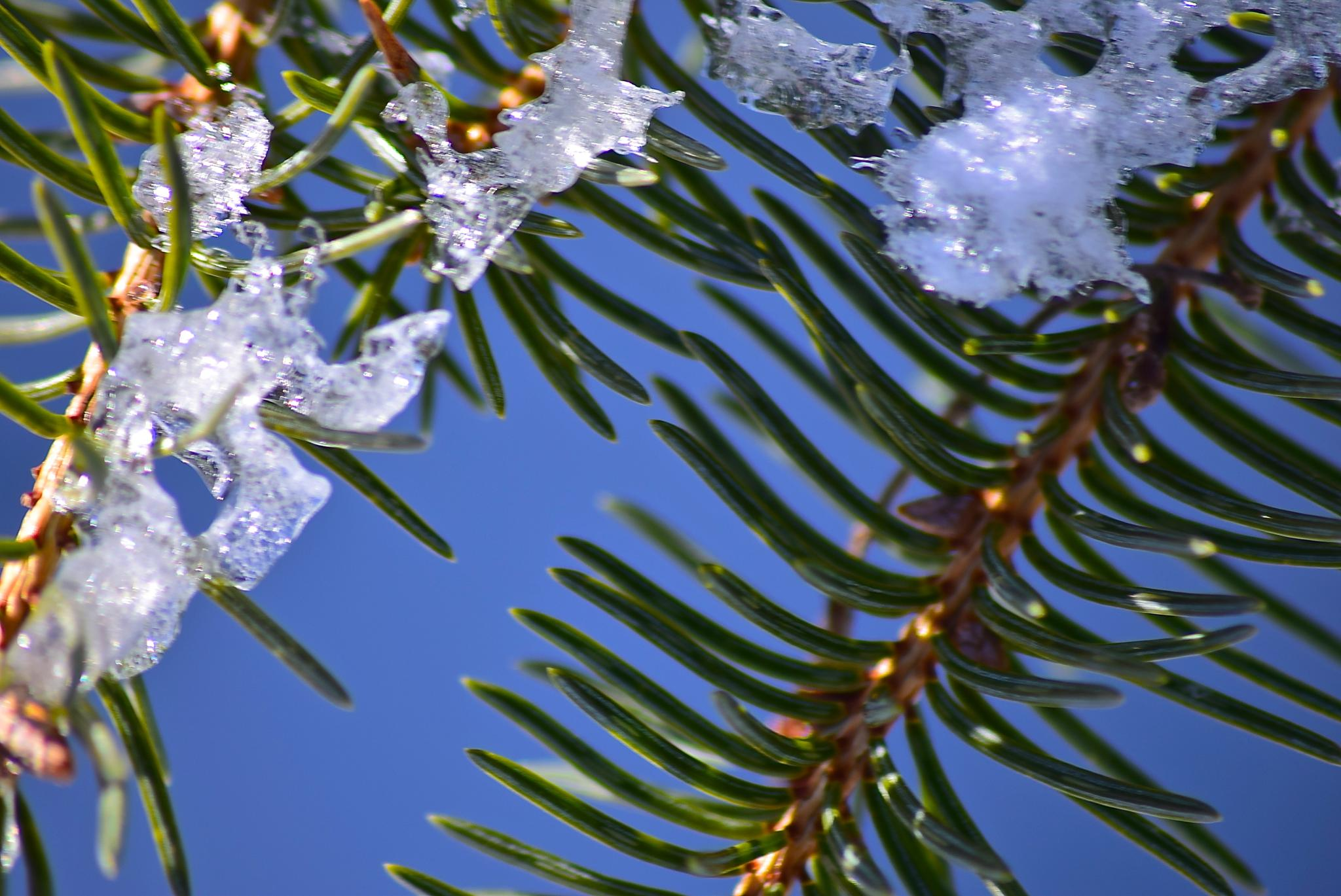 Fir and Snow by vonda.lavway