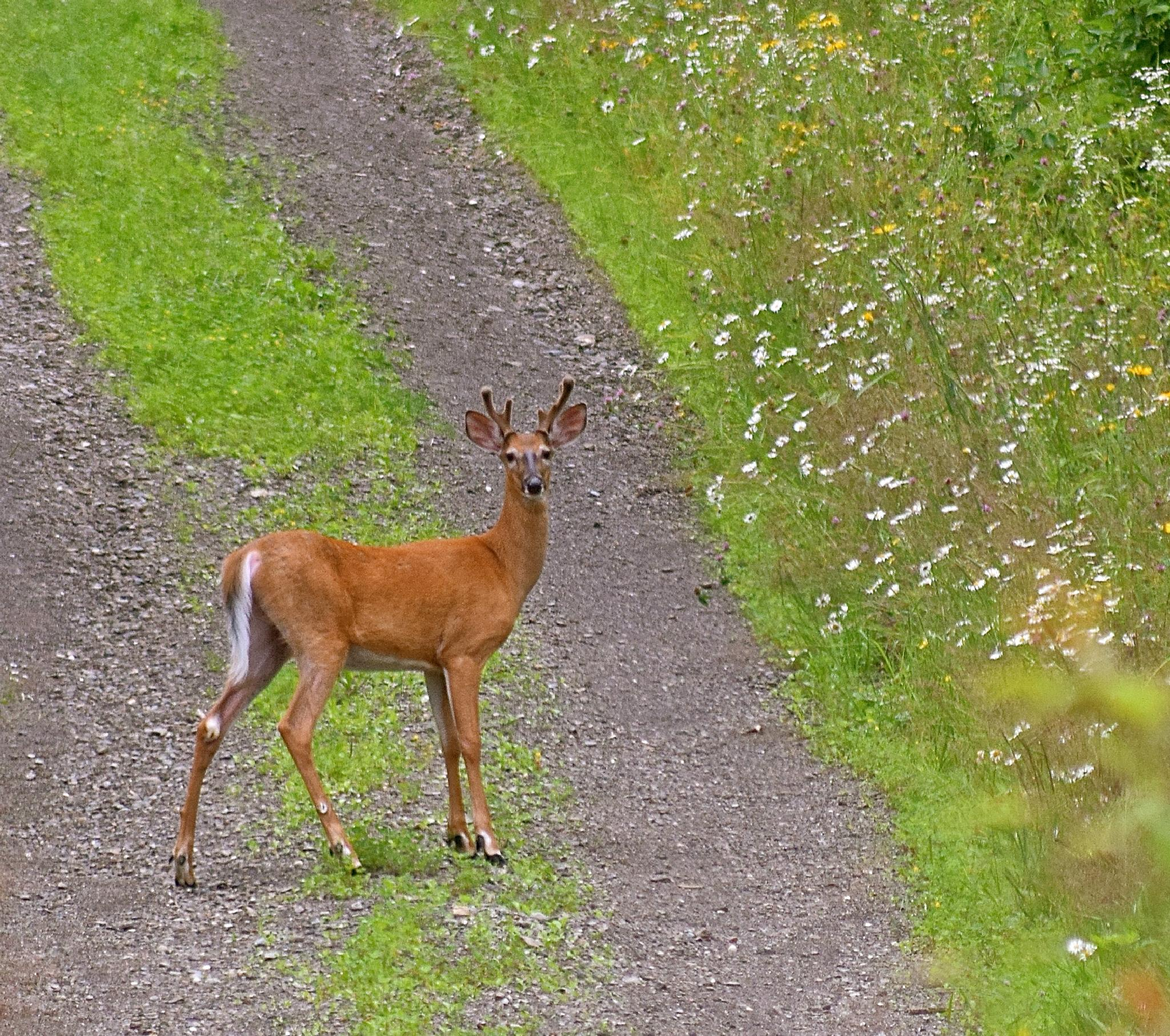 Young Buck by vonda.lavway