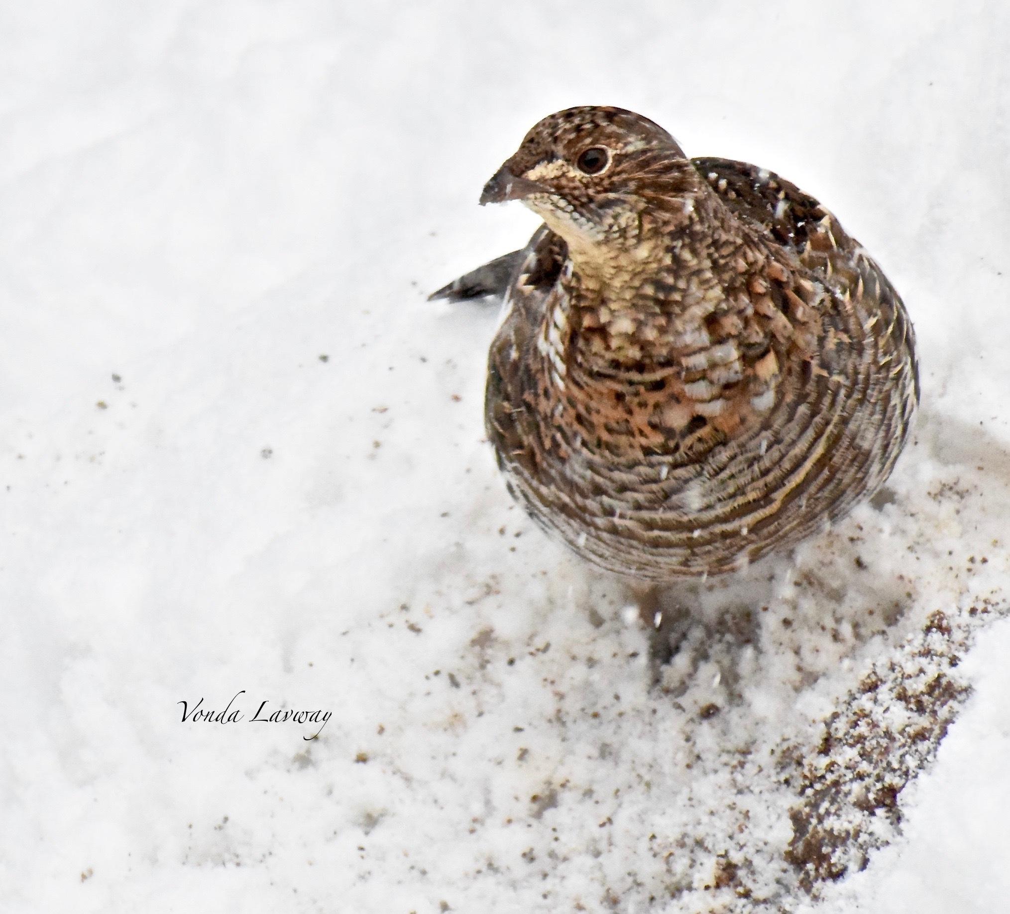 Winter Visitor by vonda.lavway