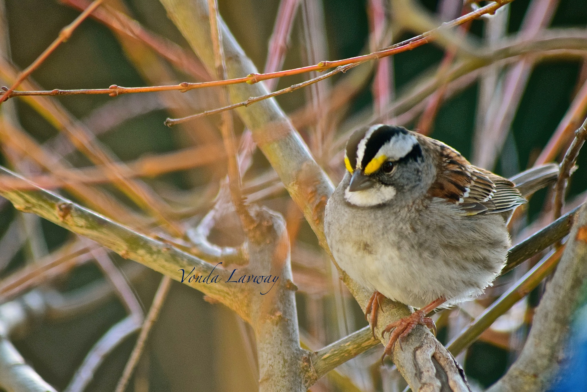 White Throated Sparrow by vonda.lavway