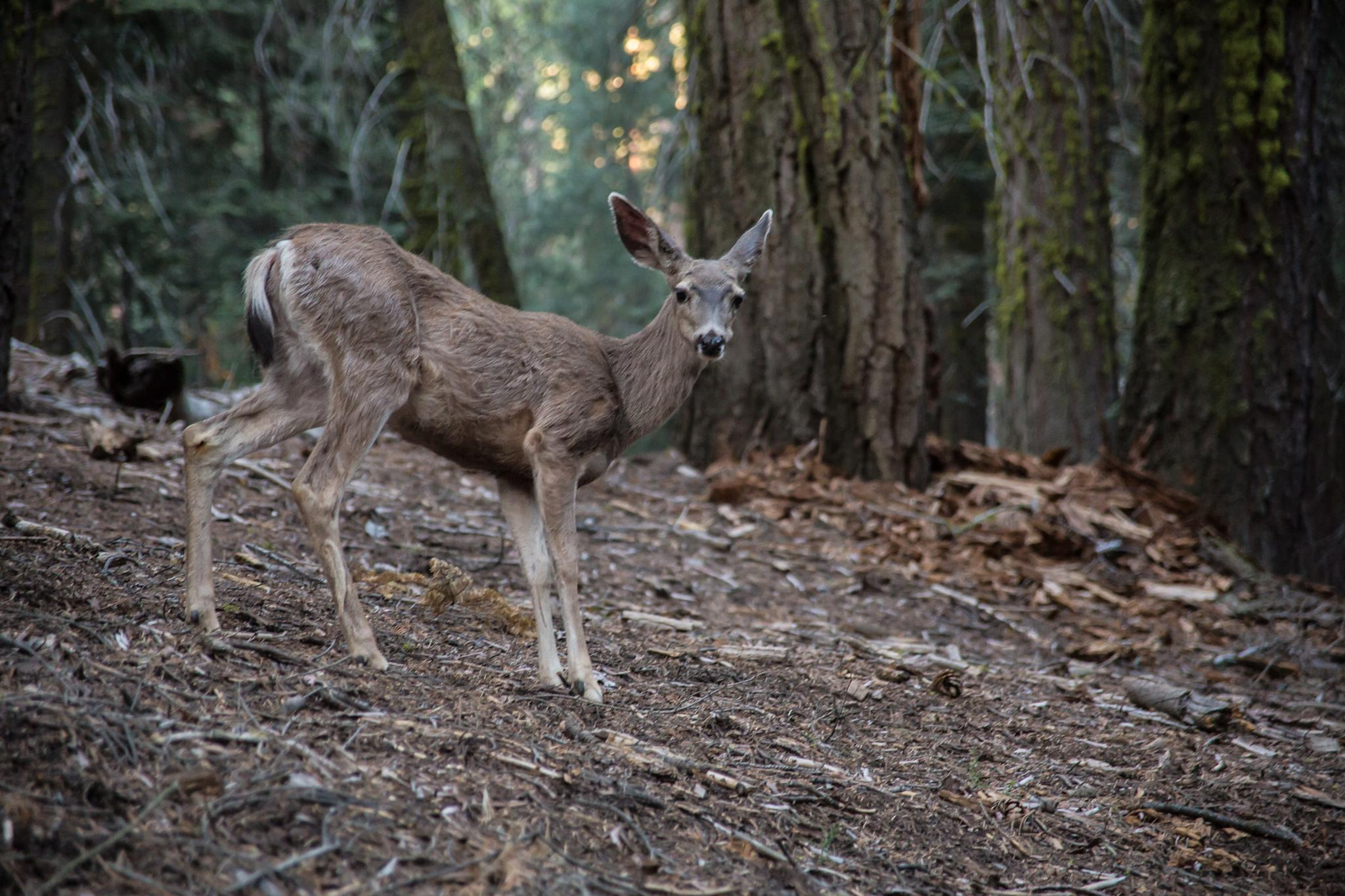 Deer by the General Sherman Tree in Sequoia National Park  by scott.smallie