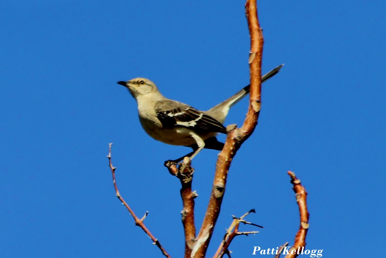 Mockingbird by patricialkellogg
