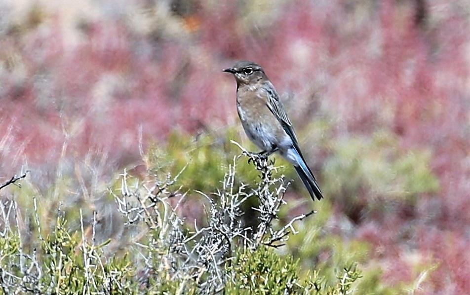 Western Bluebird by patricialkellogg