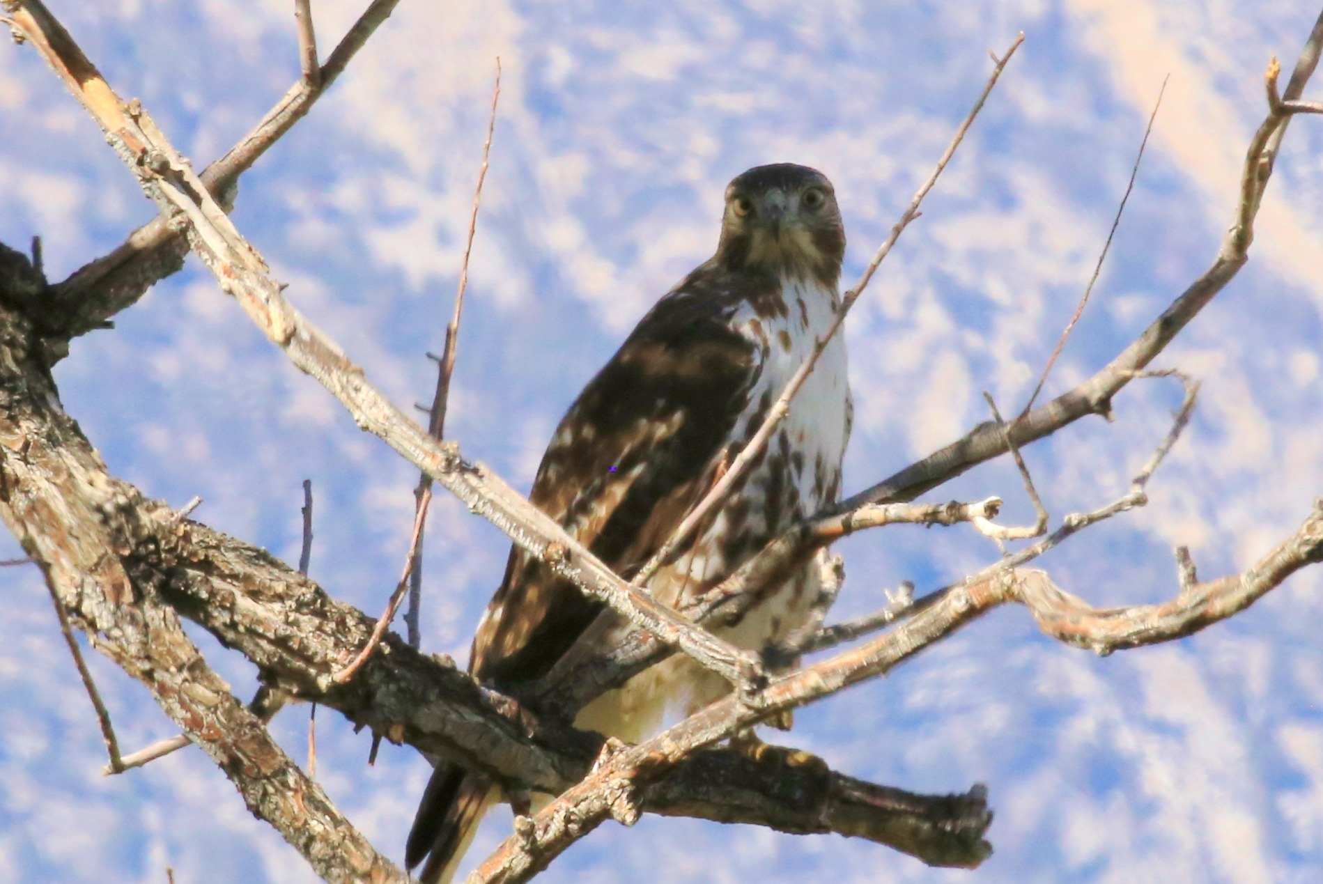 Redtail in Round Valley by patricialkellogg