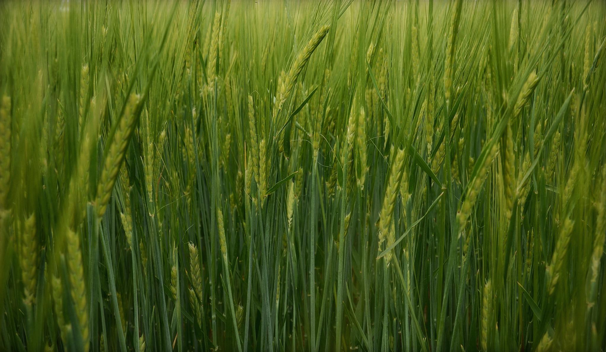 Green Wheat by David J. Julián