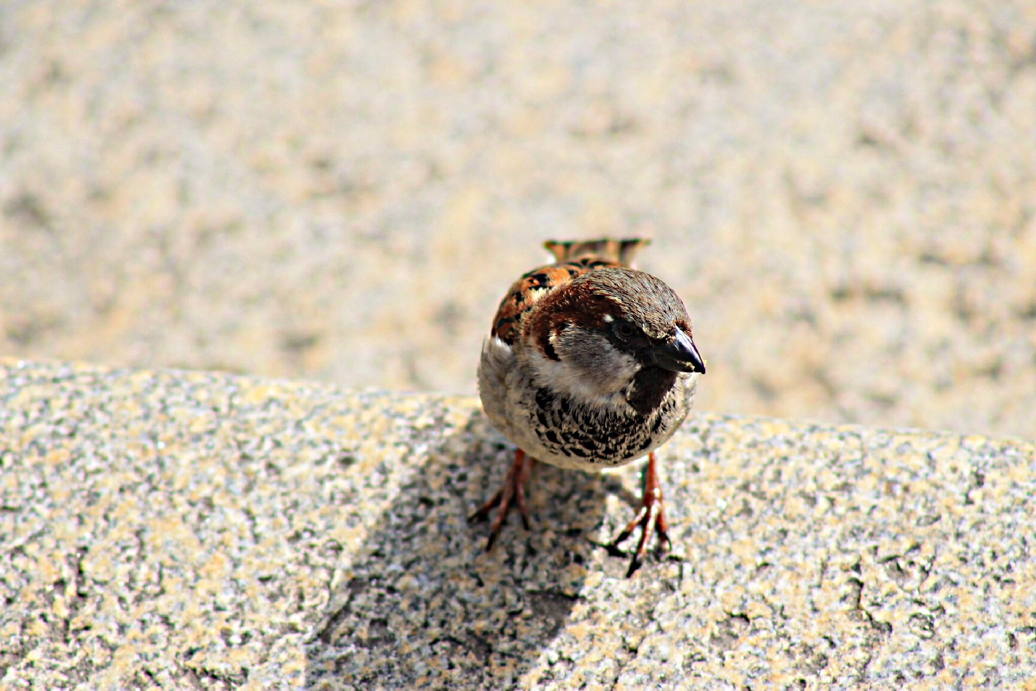 House Sparrow (Passer domesticus) is a species of small passerine family Passeridae by Andre RAMSEYER