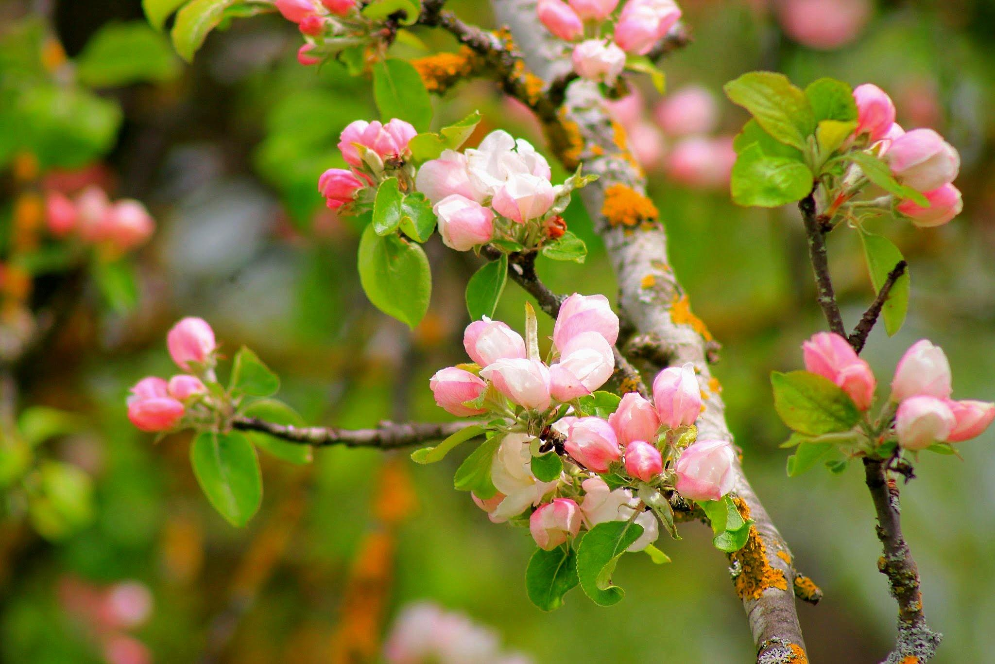 Apple tree flowers! by Andre RAMSEYER