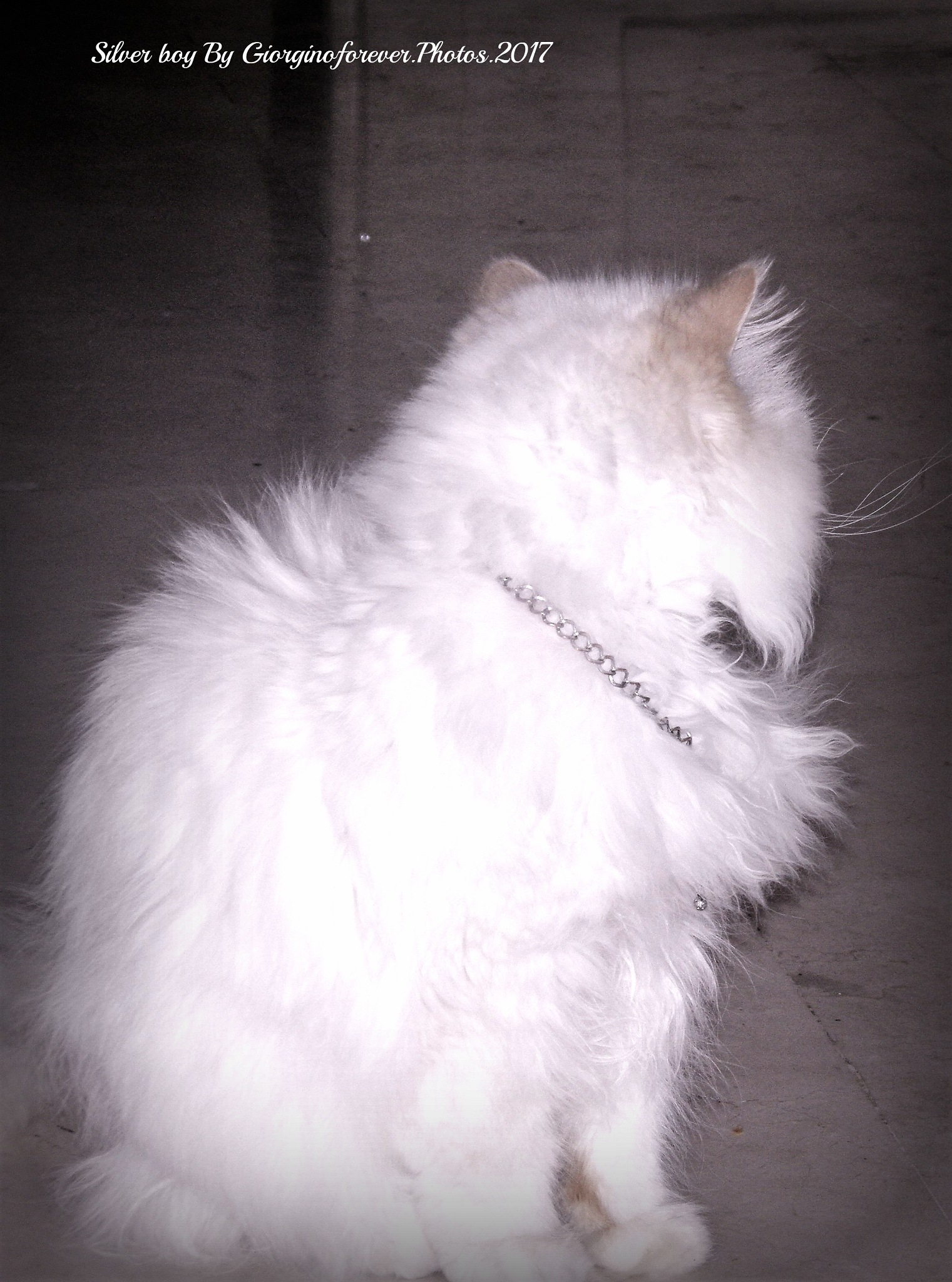 Silver Frankie with his silver necklace and silver Whiskers xxx by karenanne.borsani