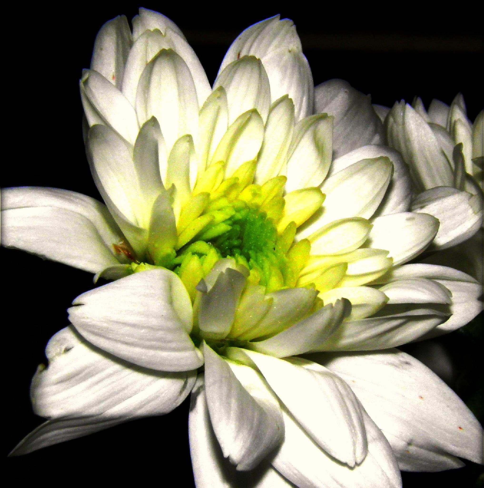 A laughing flower.... by karenanne.borsani
