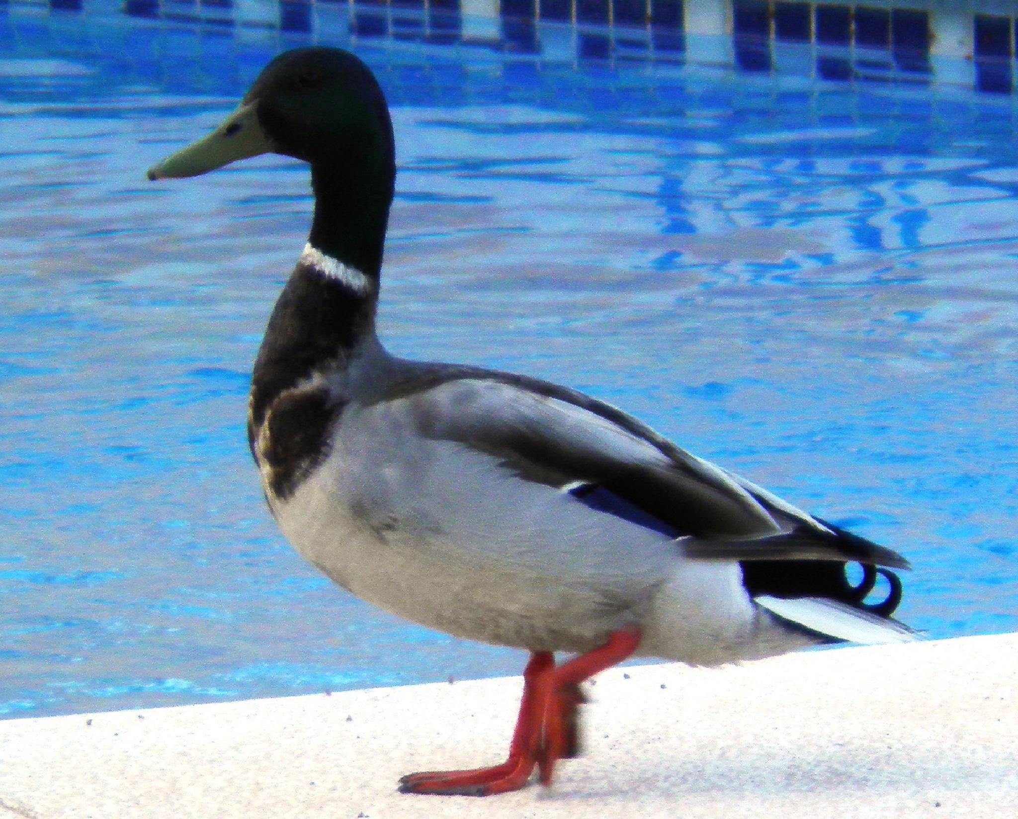 A duck by the pool...... by karenanne.borsani