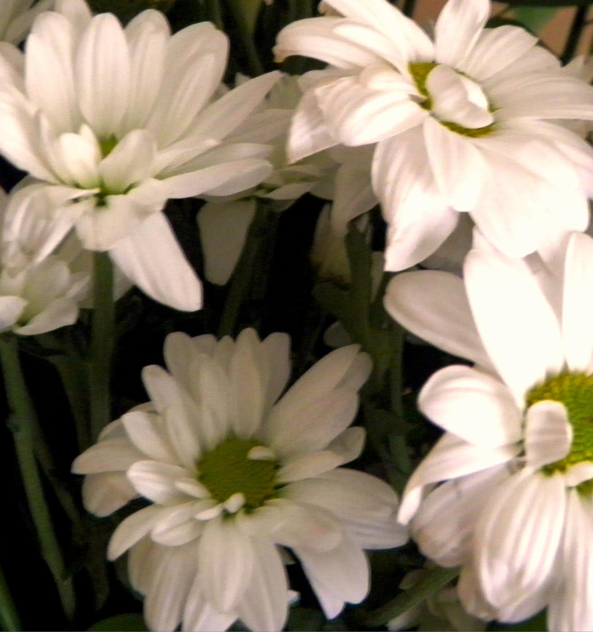 Some lovely daisies... by karenanne.borsani
