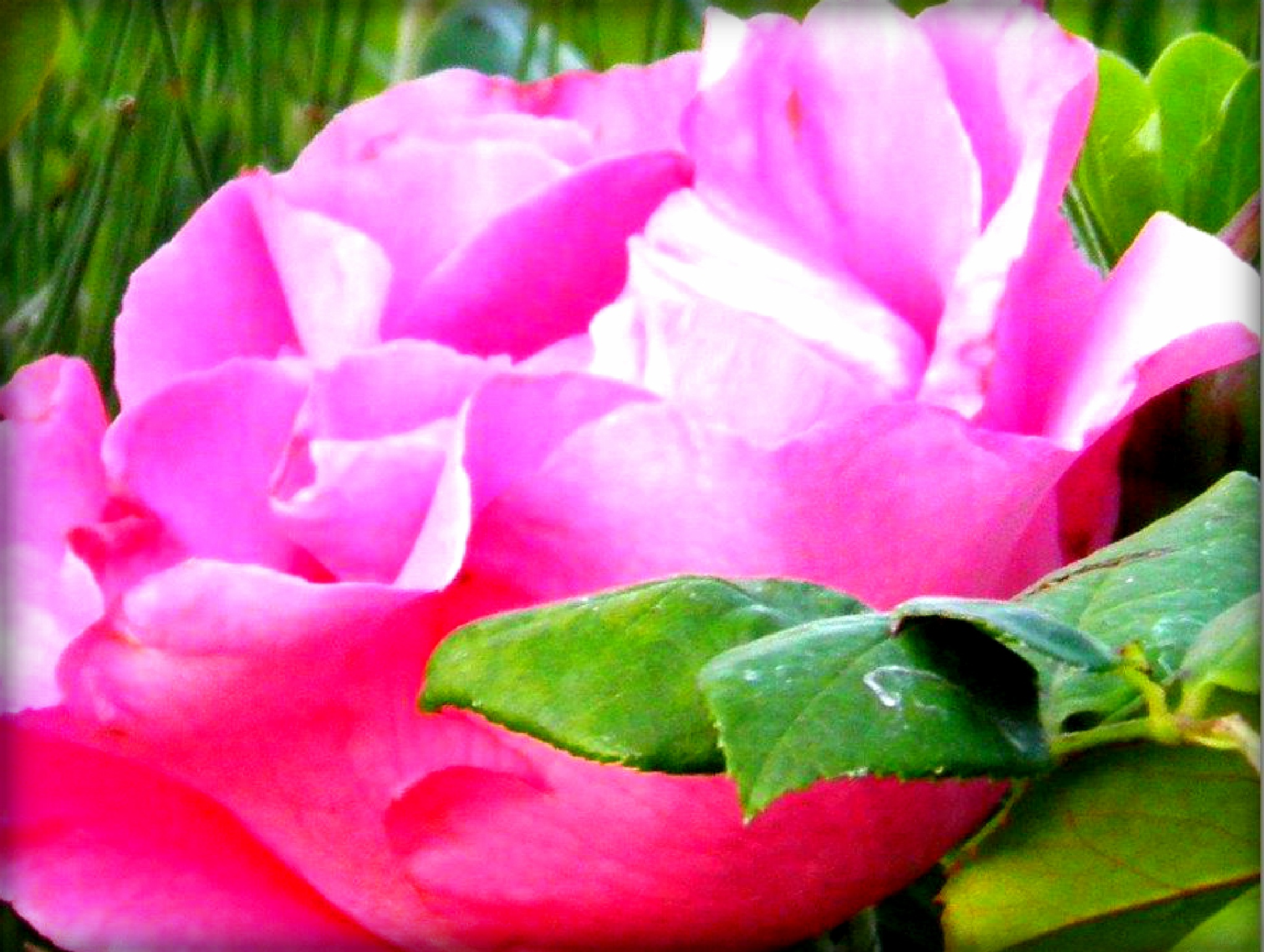 A lovely big rose......... by karenanne.borsani