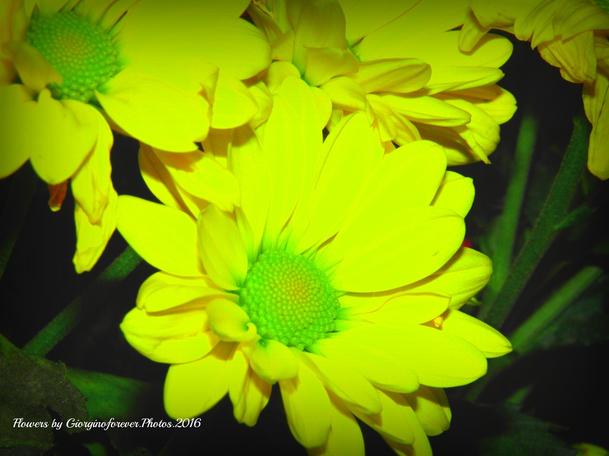 Yellow for Wednesday xxx by karenanne.borsani