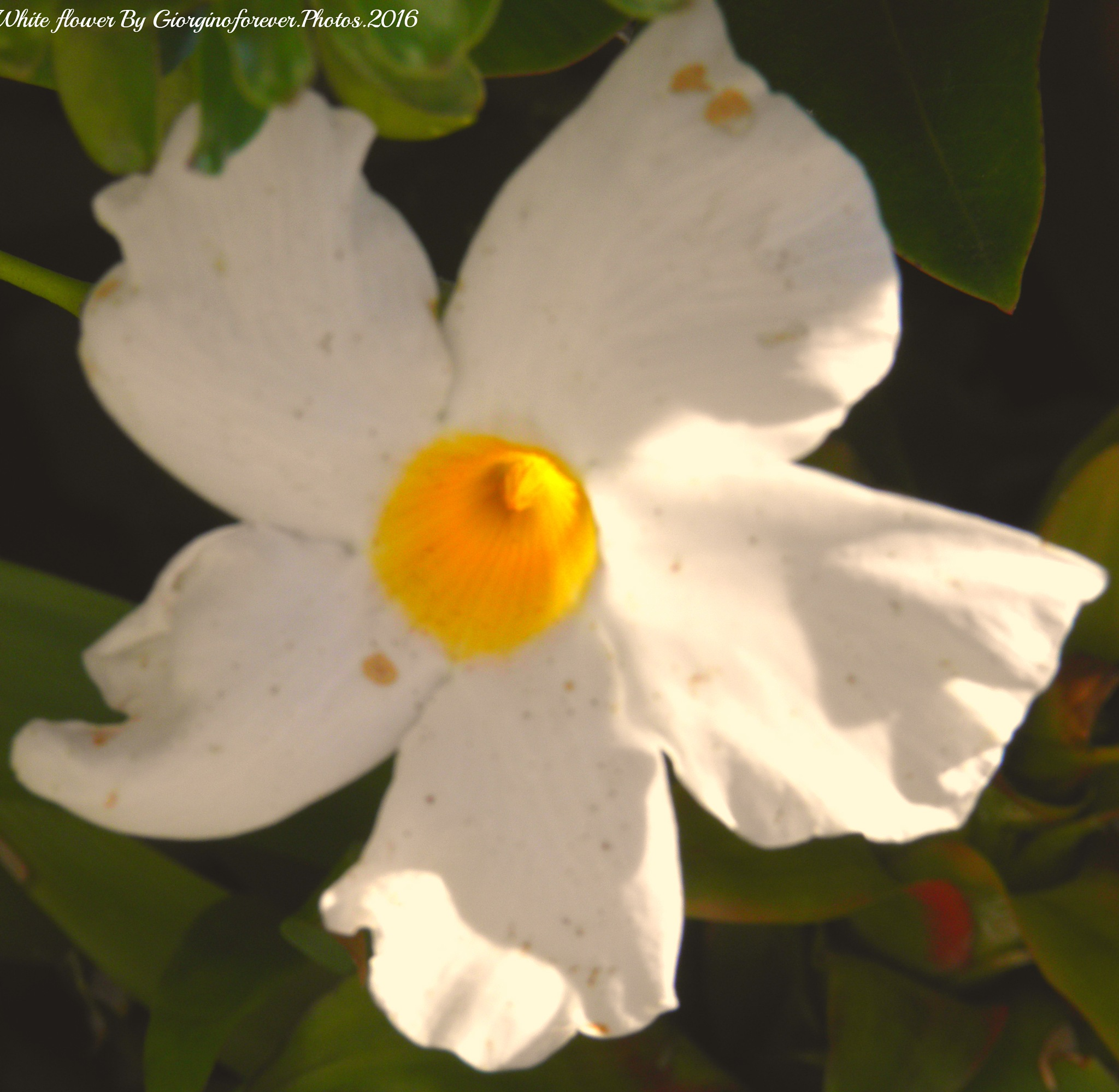 One Flower for Tuesday xxx by karenanne.borsani