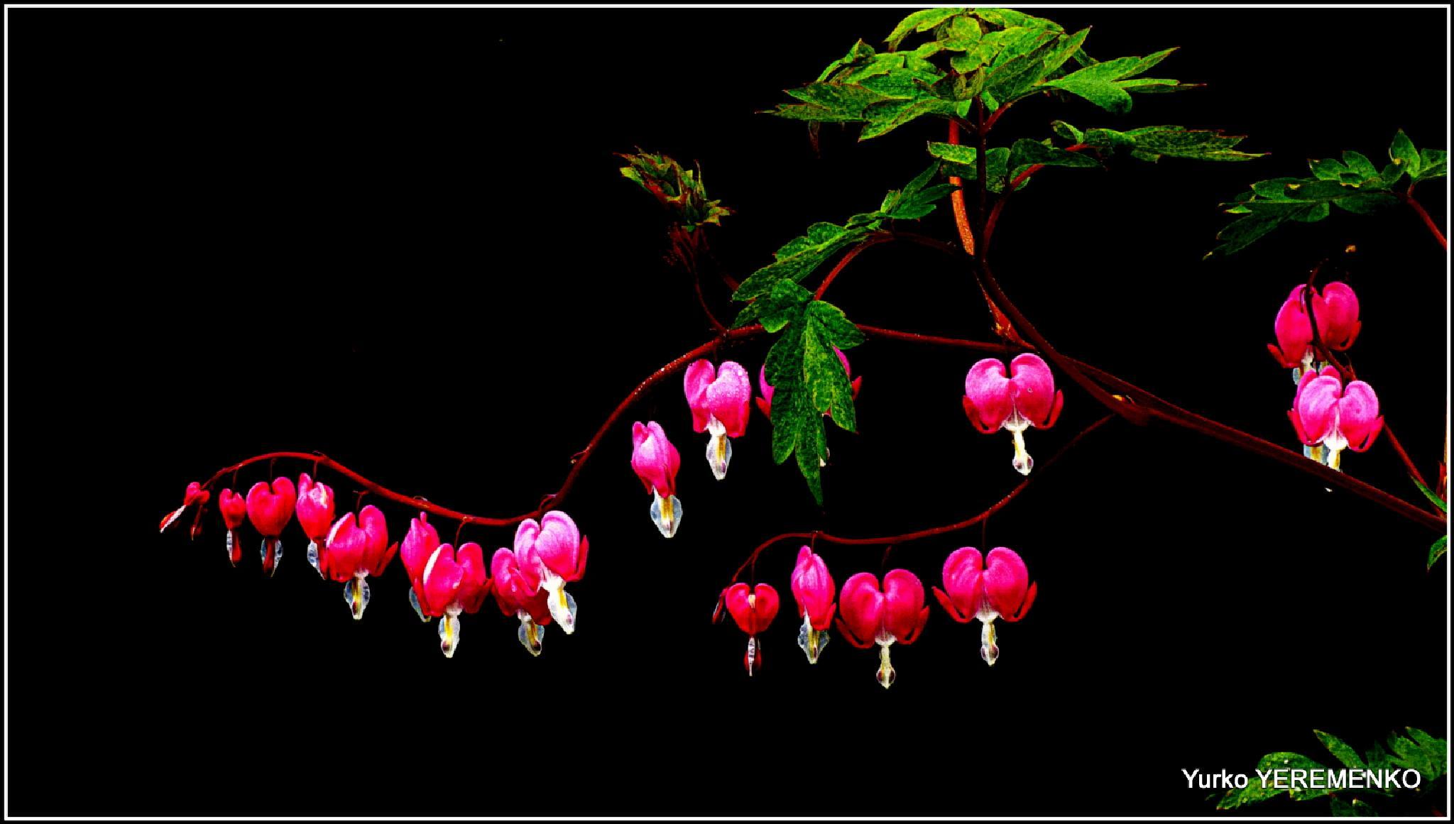 Photo in Nature #bleeding hearts #nature #flowers