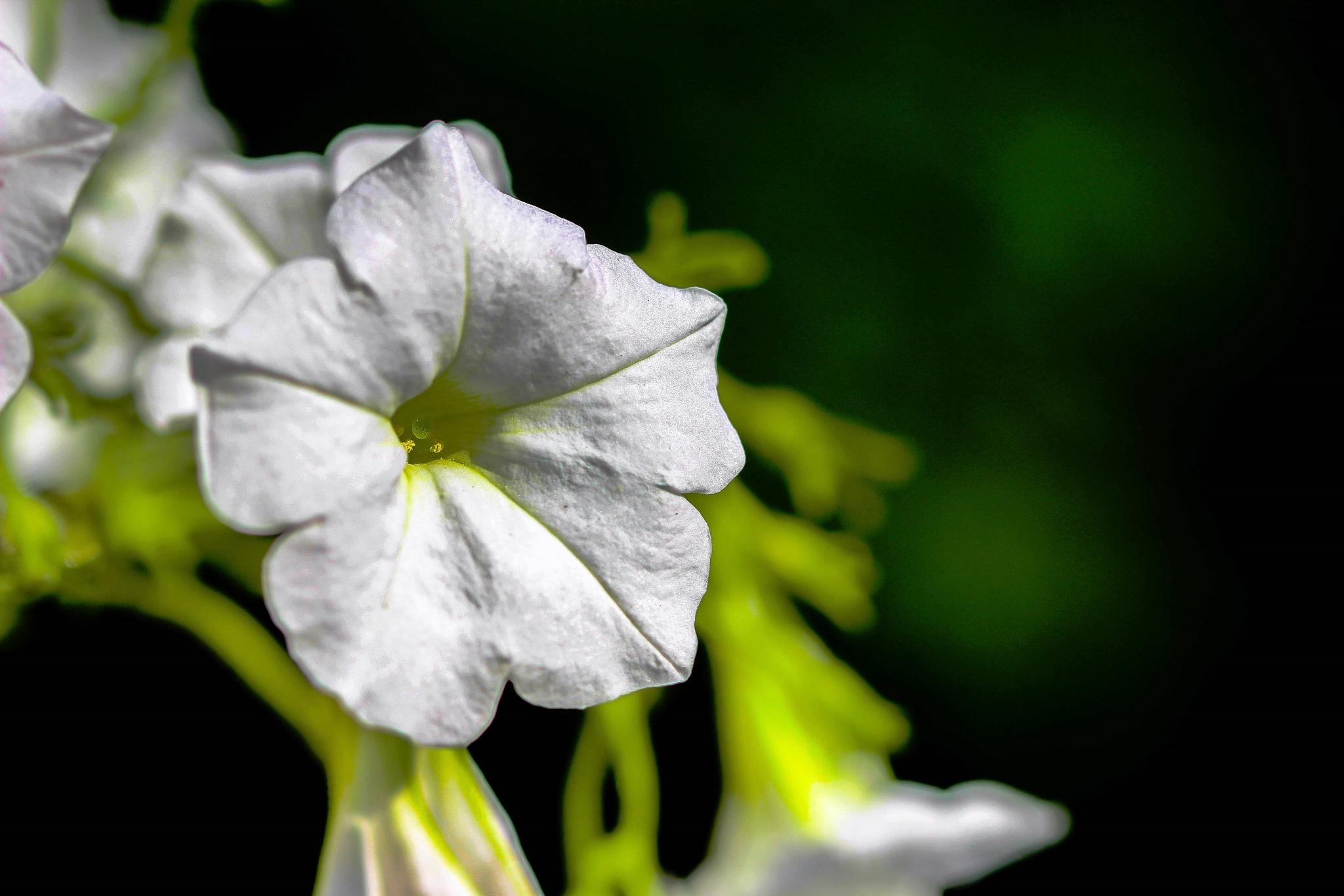 Petunia  by cindirunner