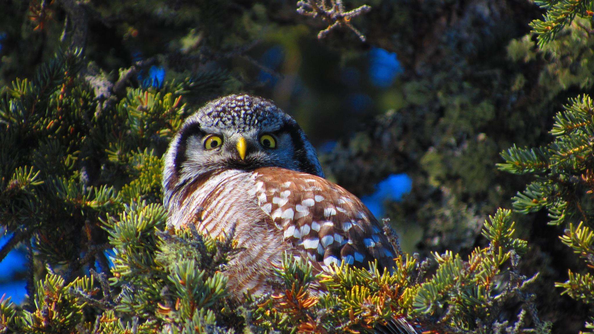 Northern Hawk Owl by katiekat63