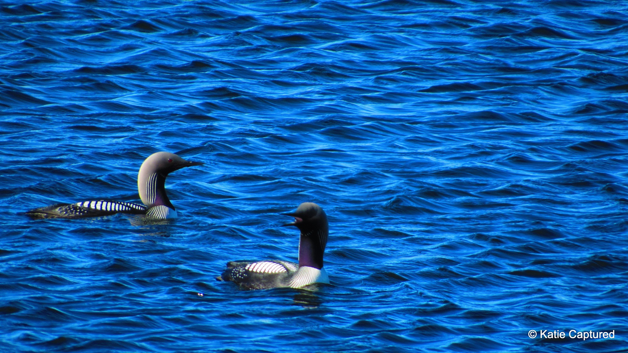 Loons on the lake by katiekat63