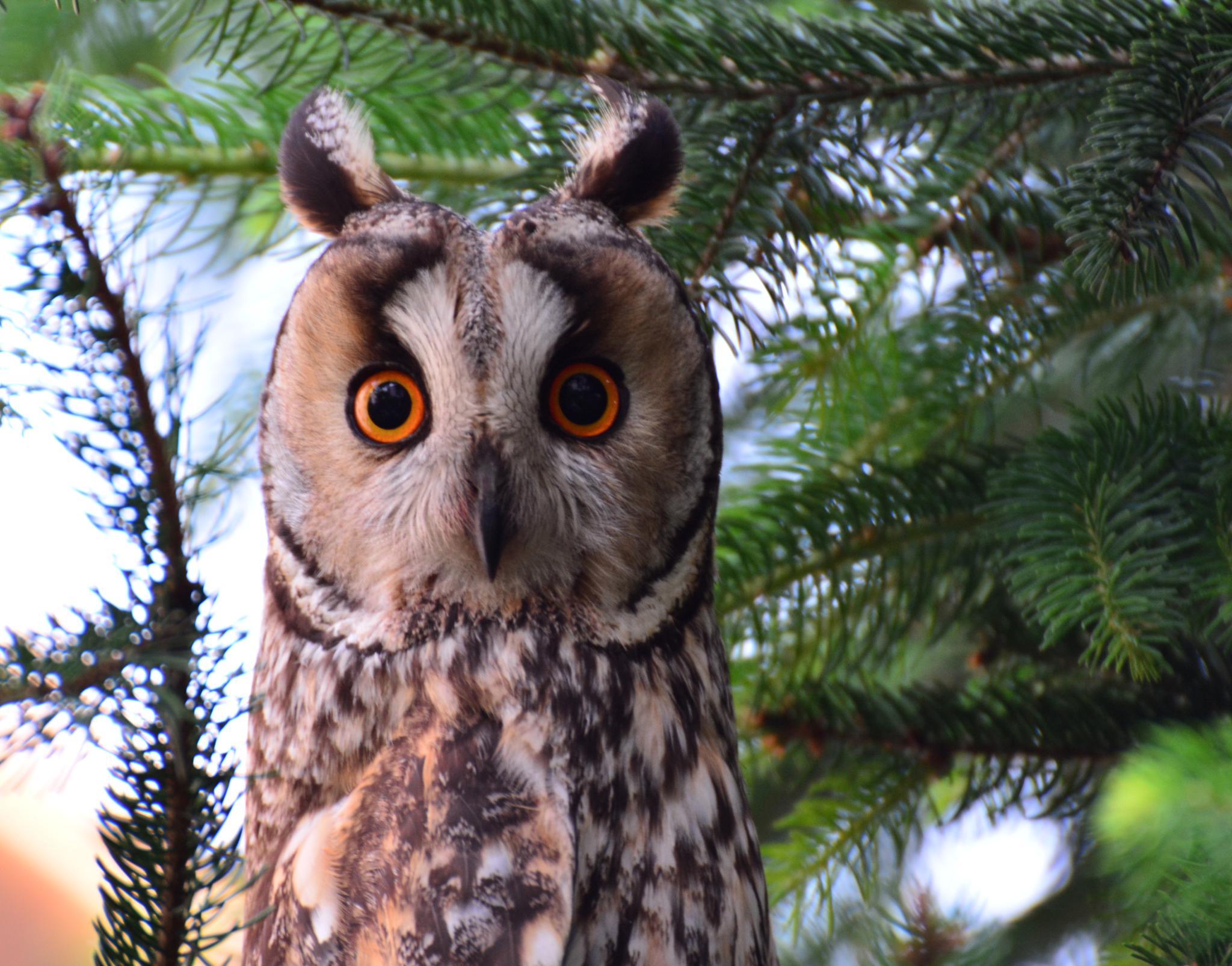 Owl - Asio otus by Egon Cokan