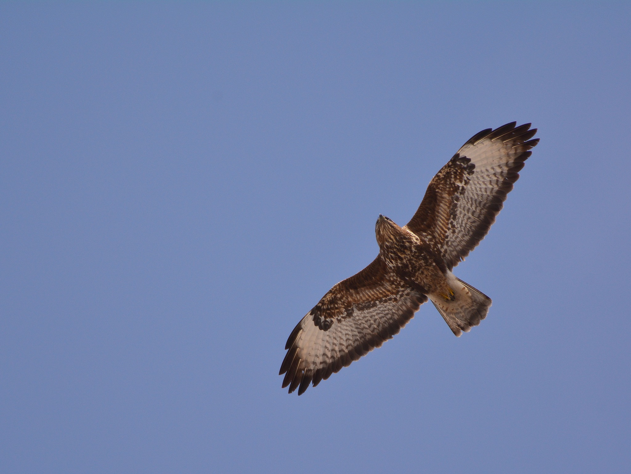 Common buzzard in flight by Egon Cokan