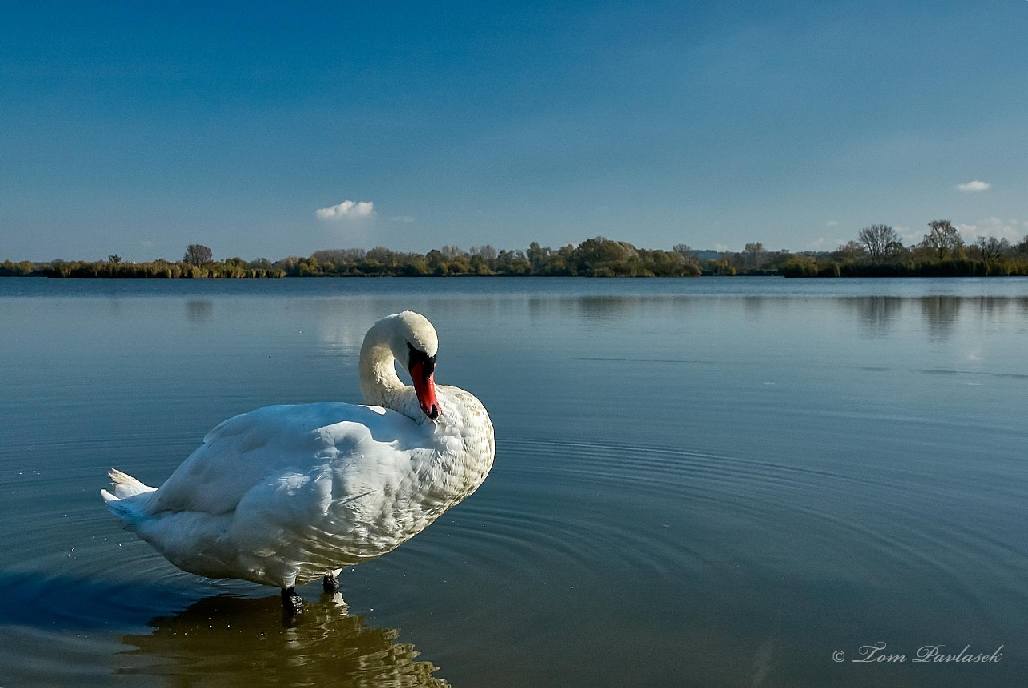 Swan by tompavlas