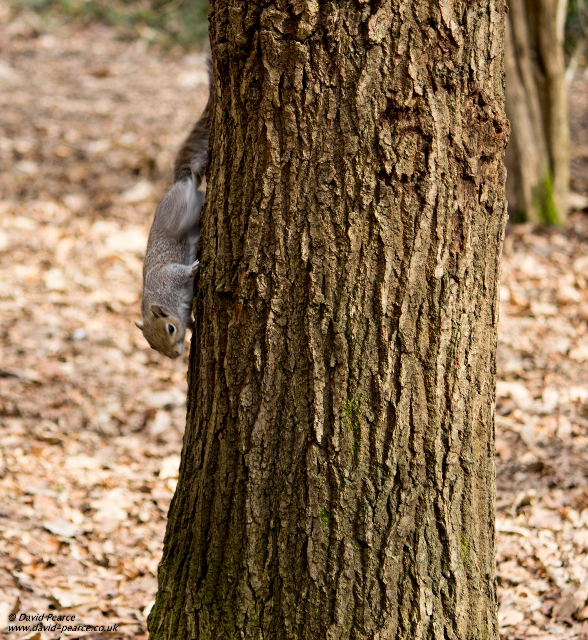 Squirrel by David Pearce