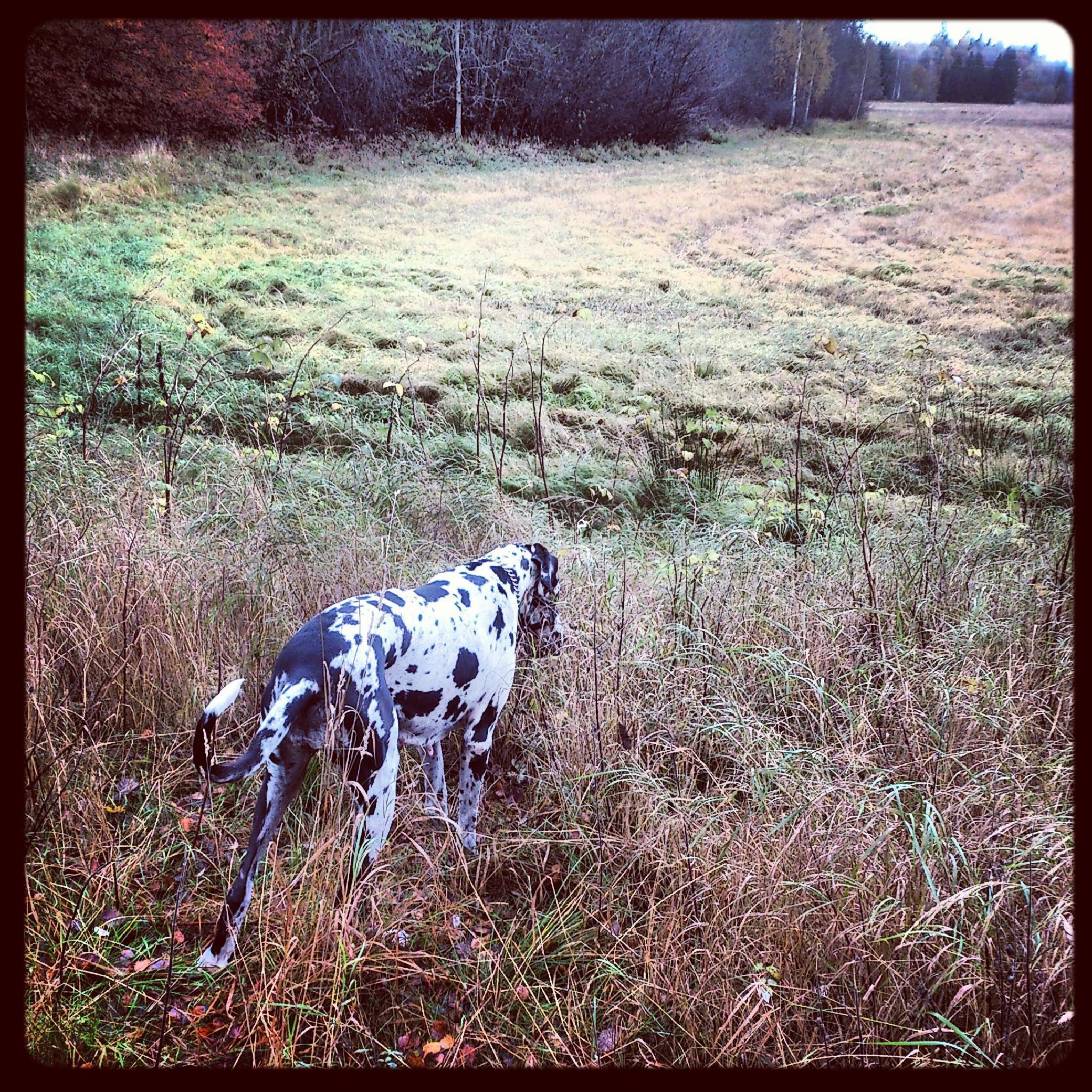 My Great Dane Bonnie by Anna Pettersson Skalstad