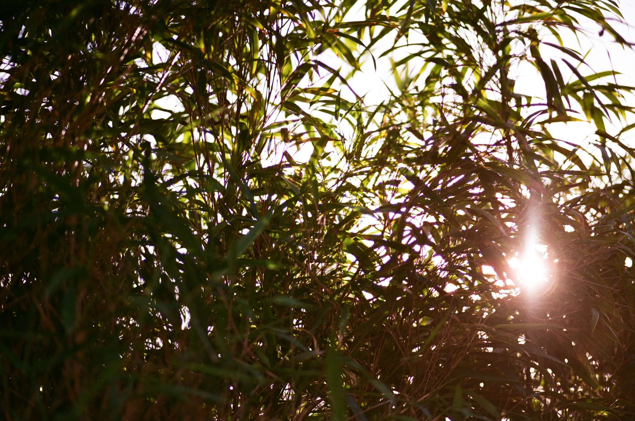 Bamboo by gregreher