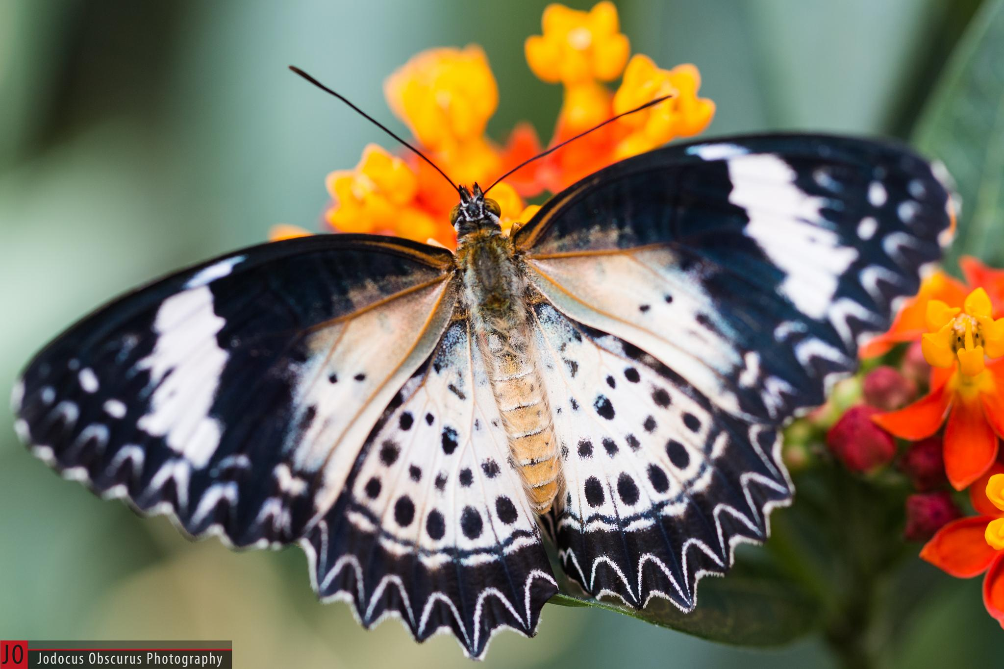 Leopard Lacewing (Female) by JodocusObscurus
