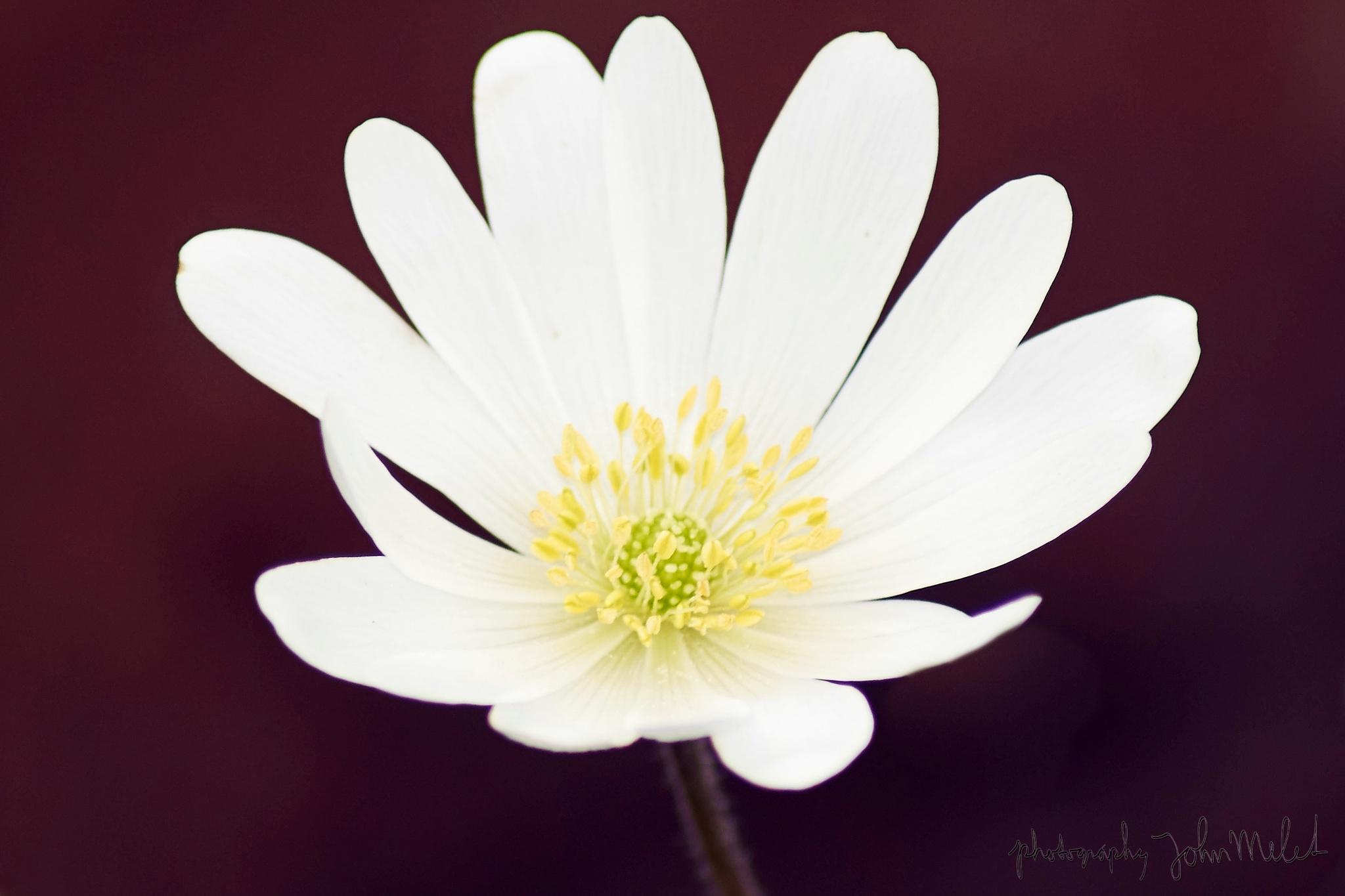 Anemone by John Melet