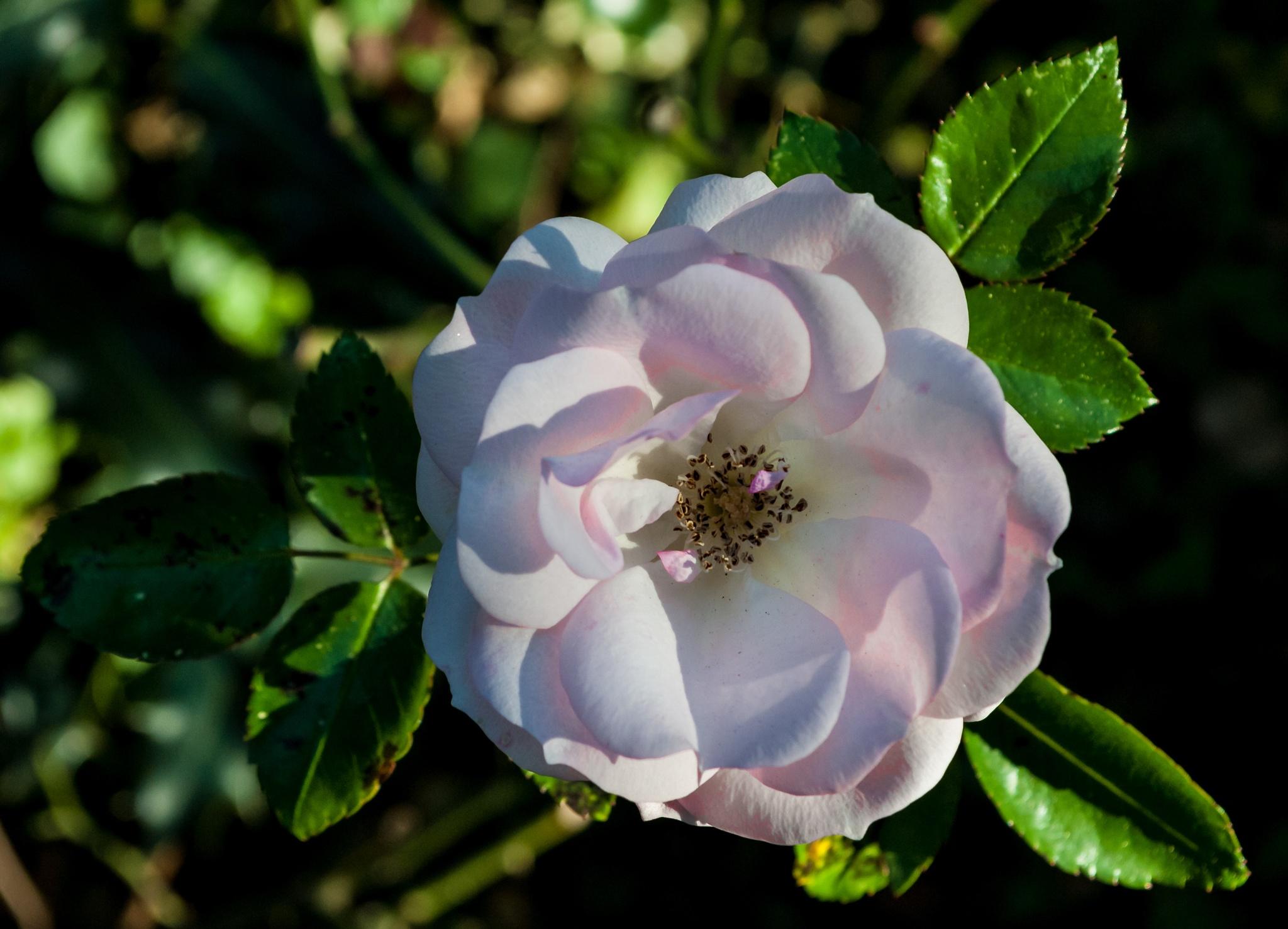 A rose by Mauro Gigli