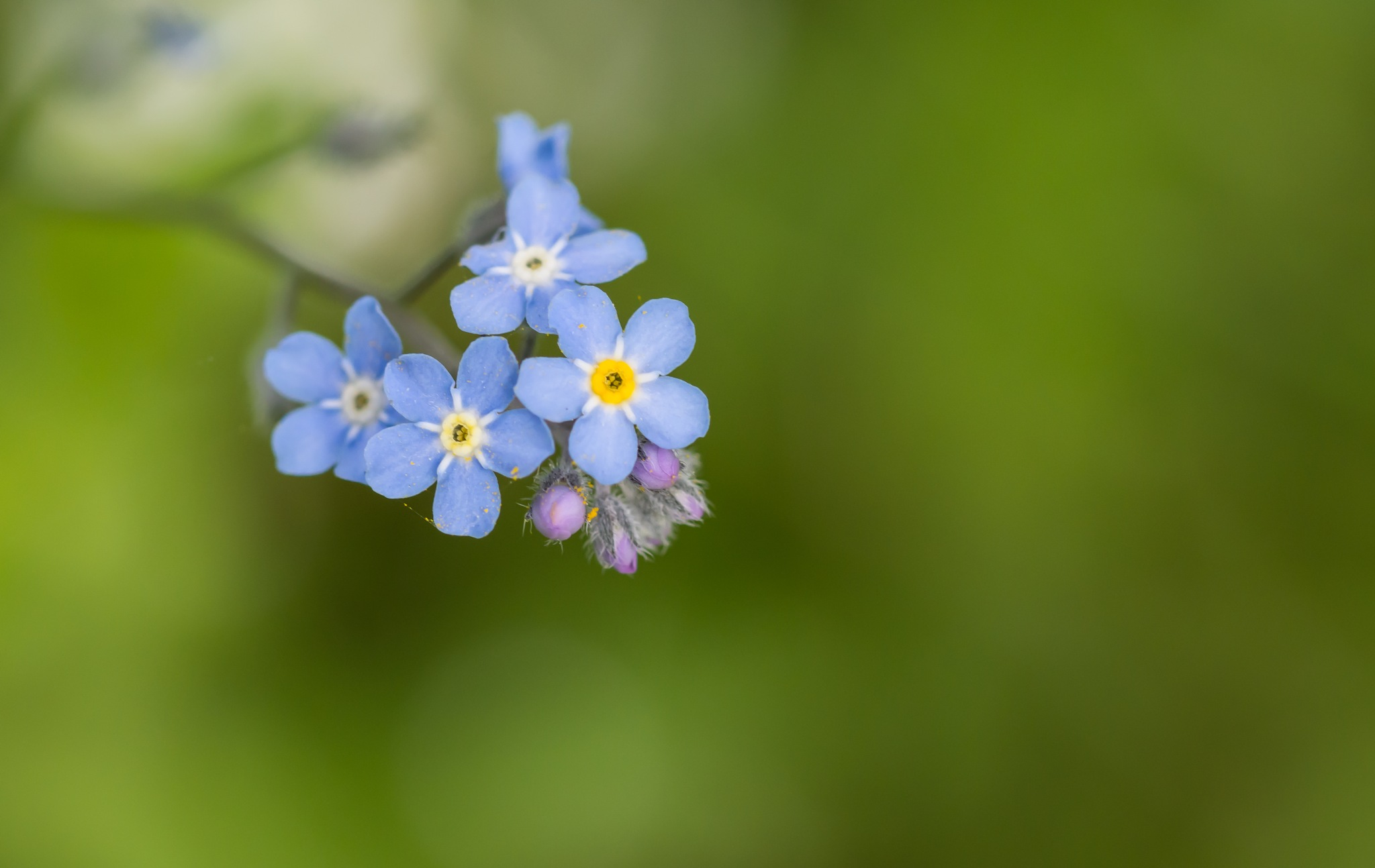 forget-me-not by Mauro Gigli