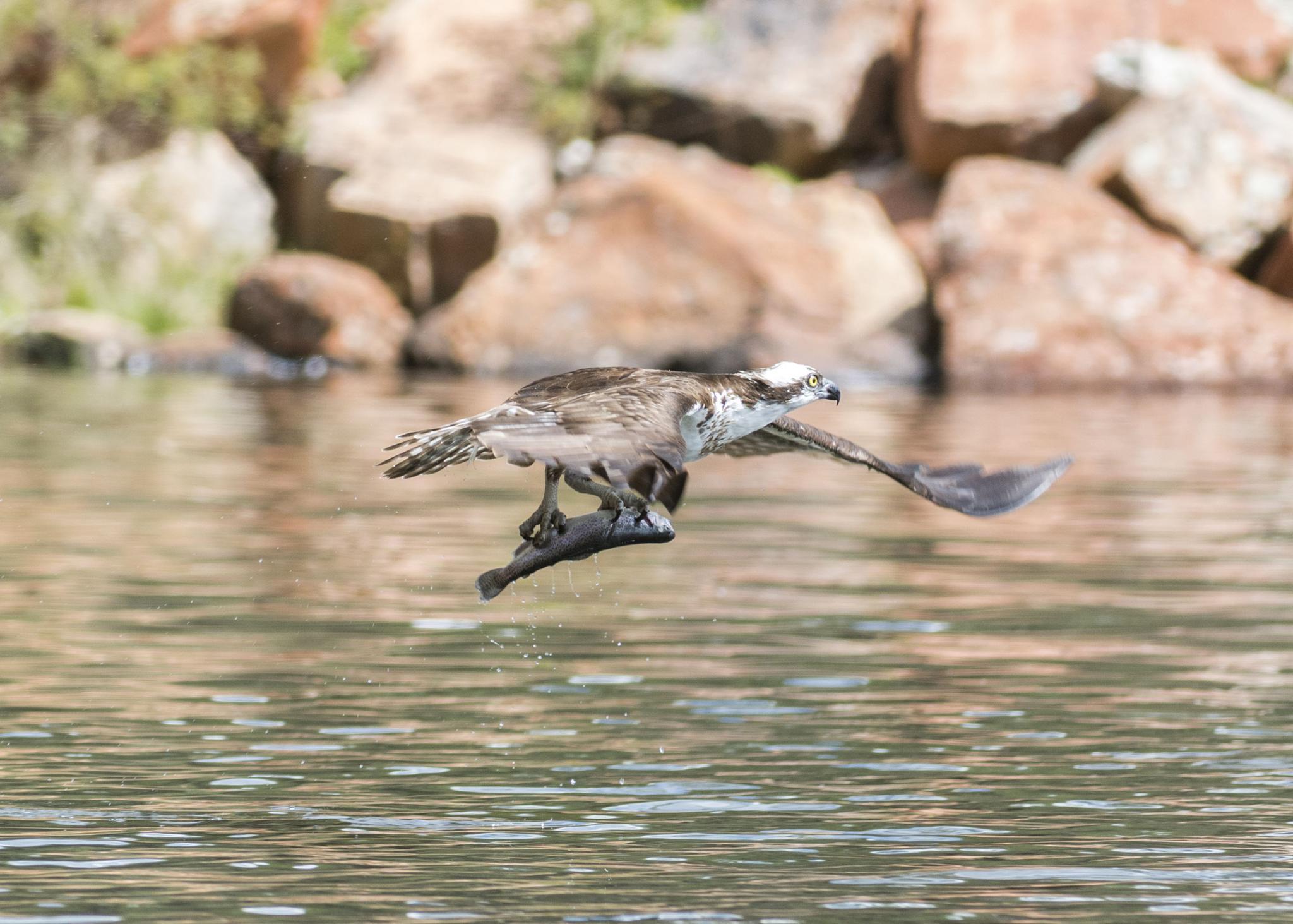 Osprey by fotoMojoRon