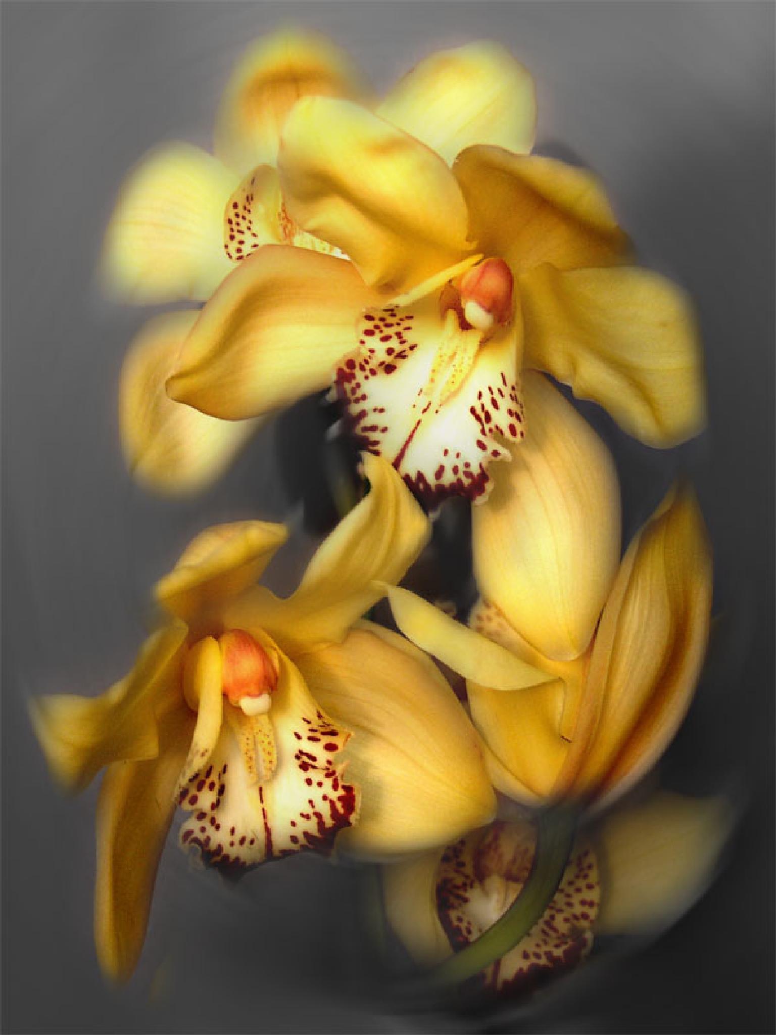 Yellow Cymbidium Orchids by lilia.malor