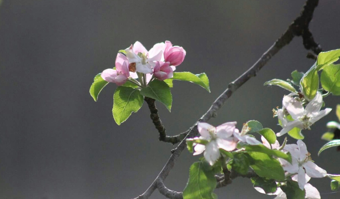 Sweetness blossoms. Apple  by Countryboy