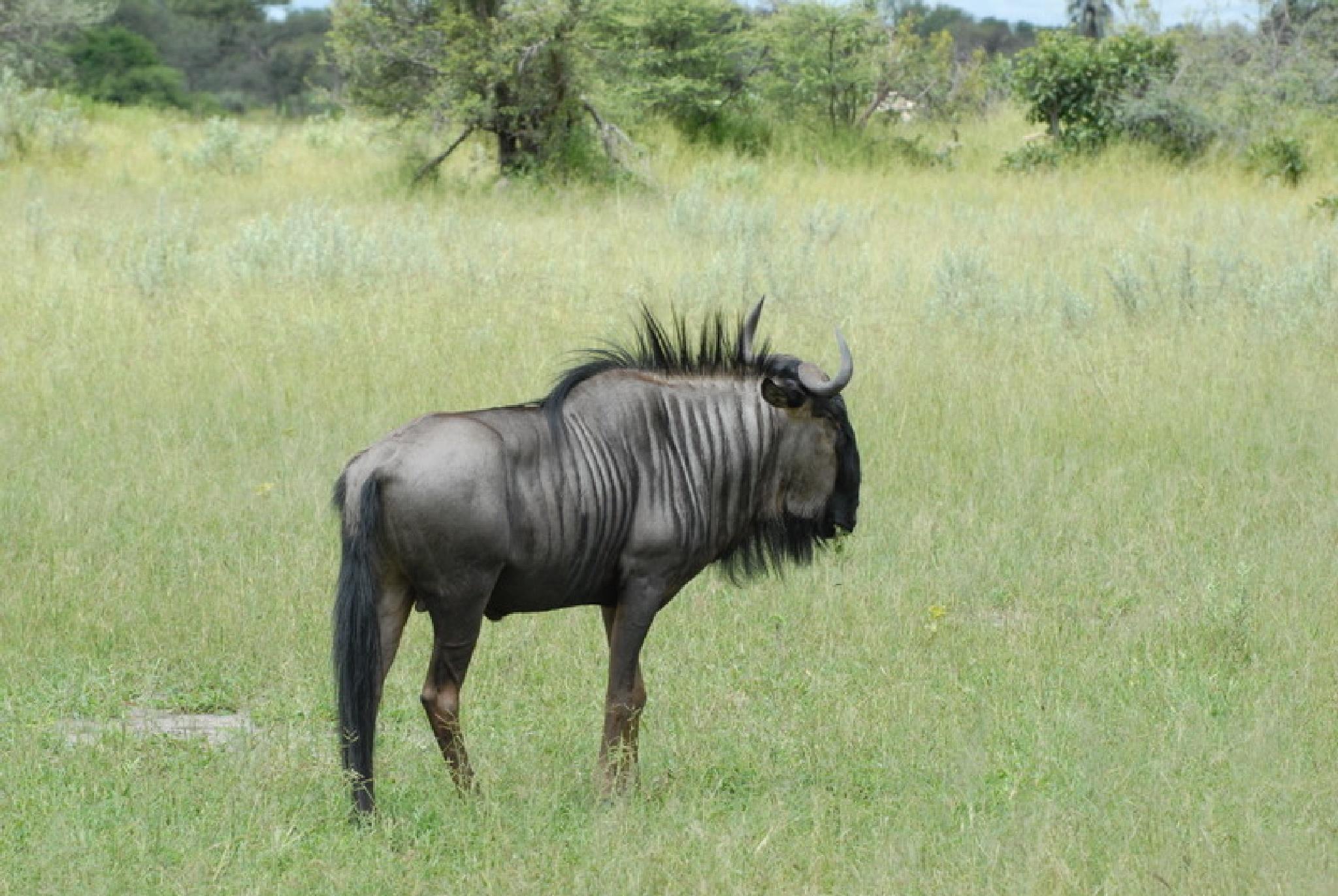 Wildebeest by vincy726