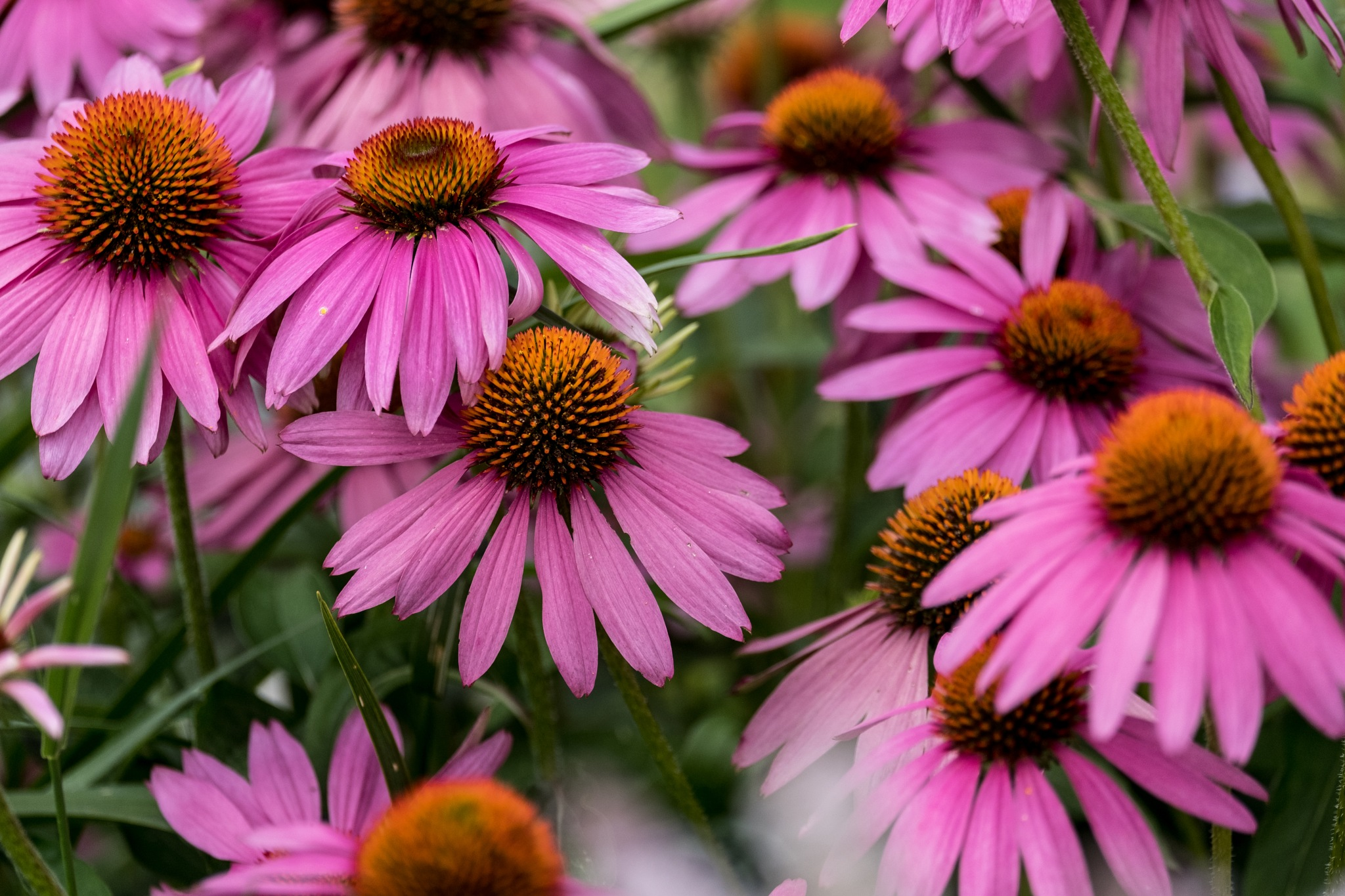 Cone Flowers by David Foster