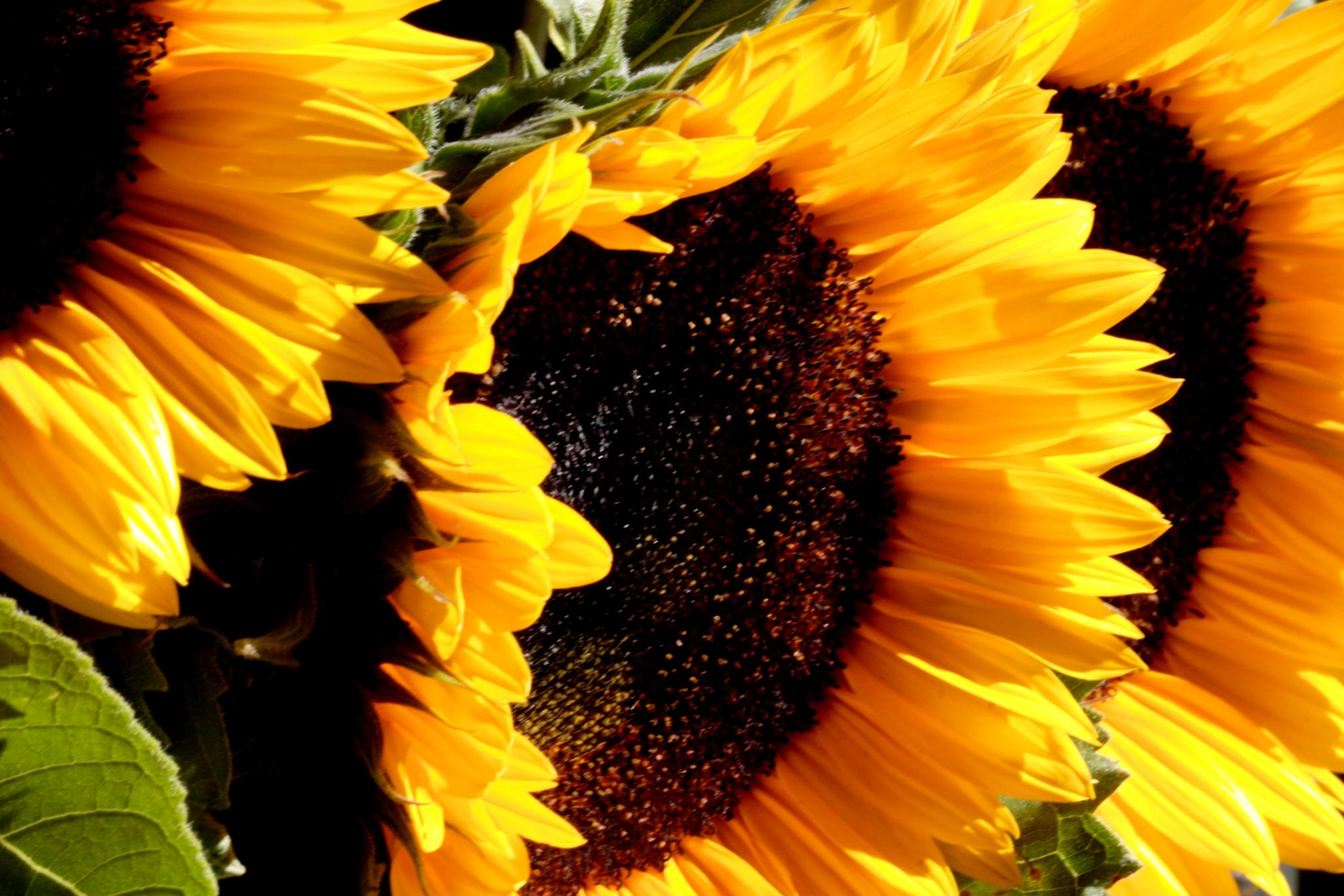 Sunflowers by David Foster