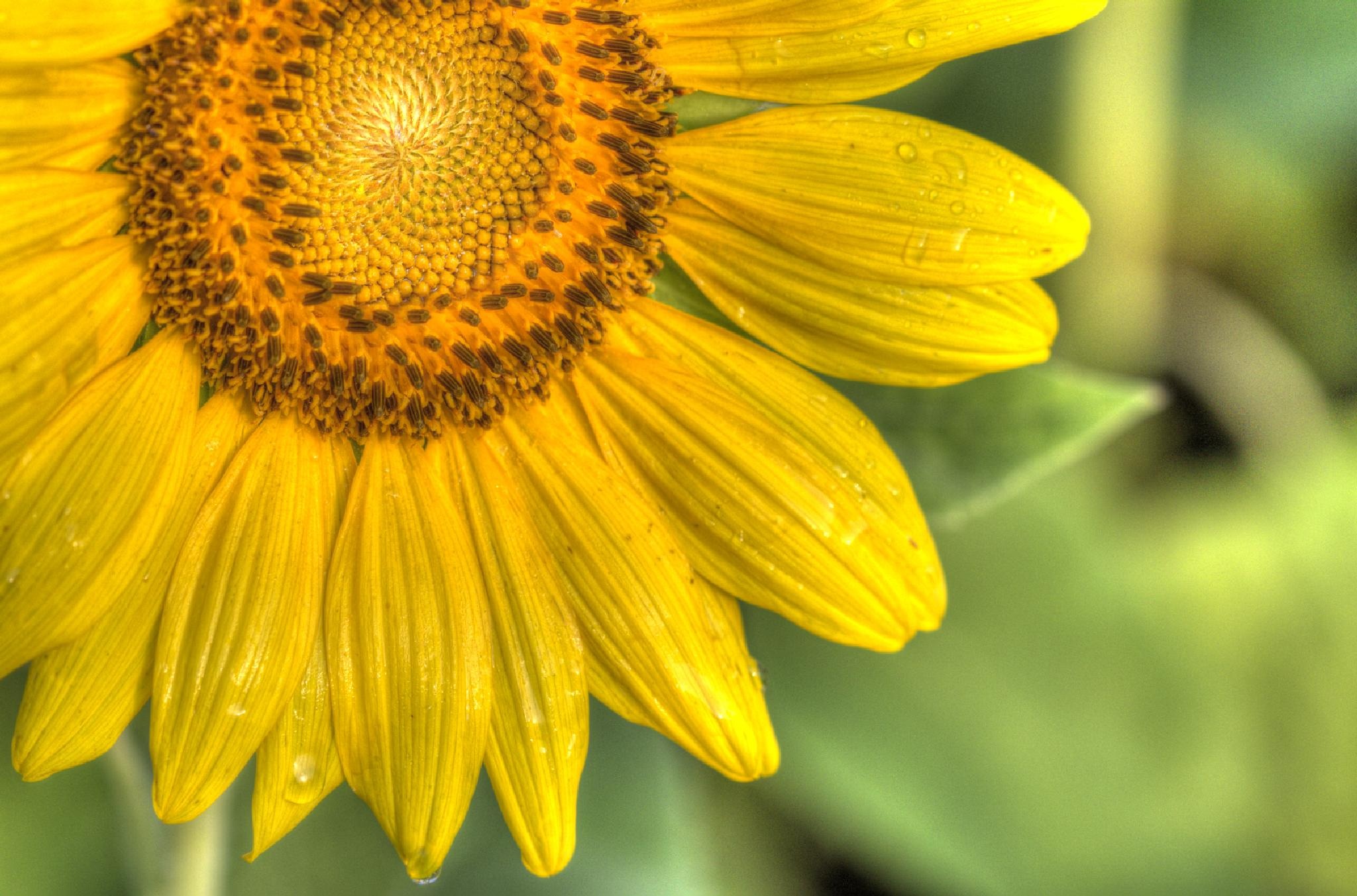 Dew Drops on a Sunflower by David Foster