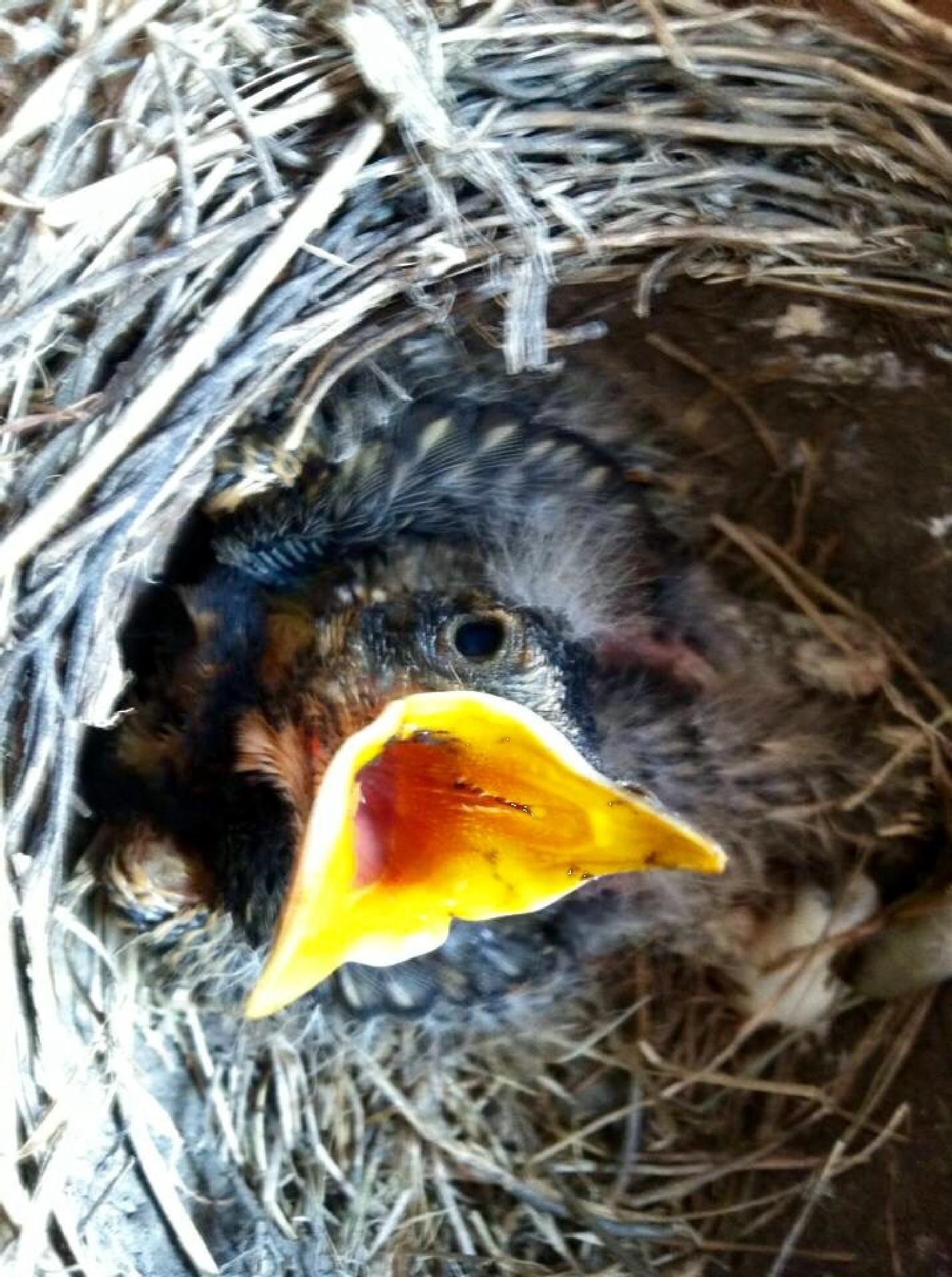 Hungry robin  by Rose.C.Salinas