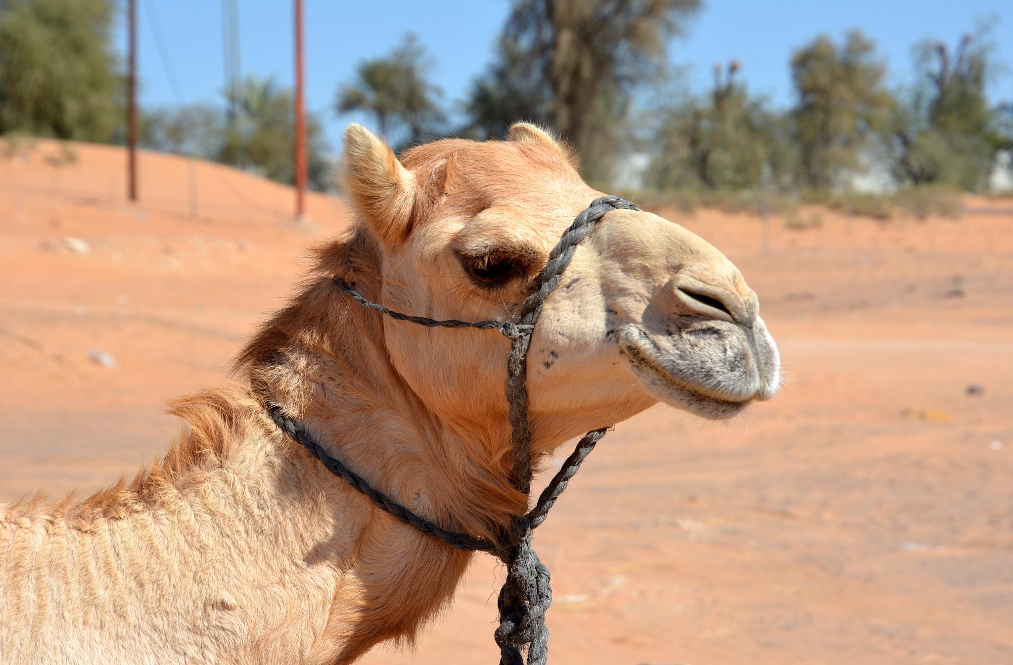 Camel by kelrey31