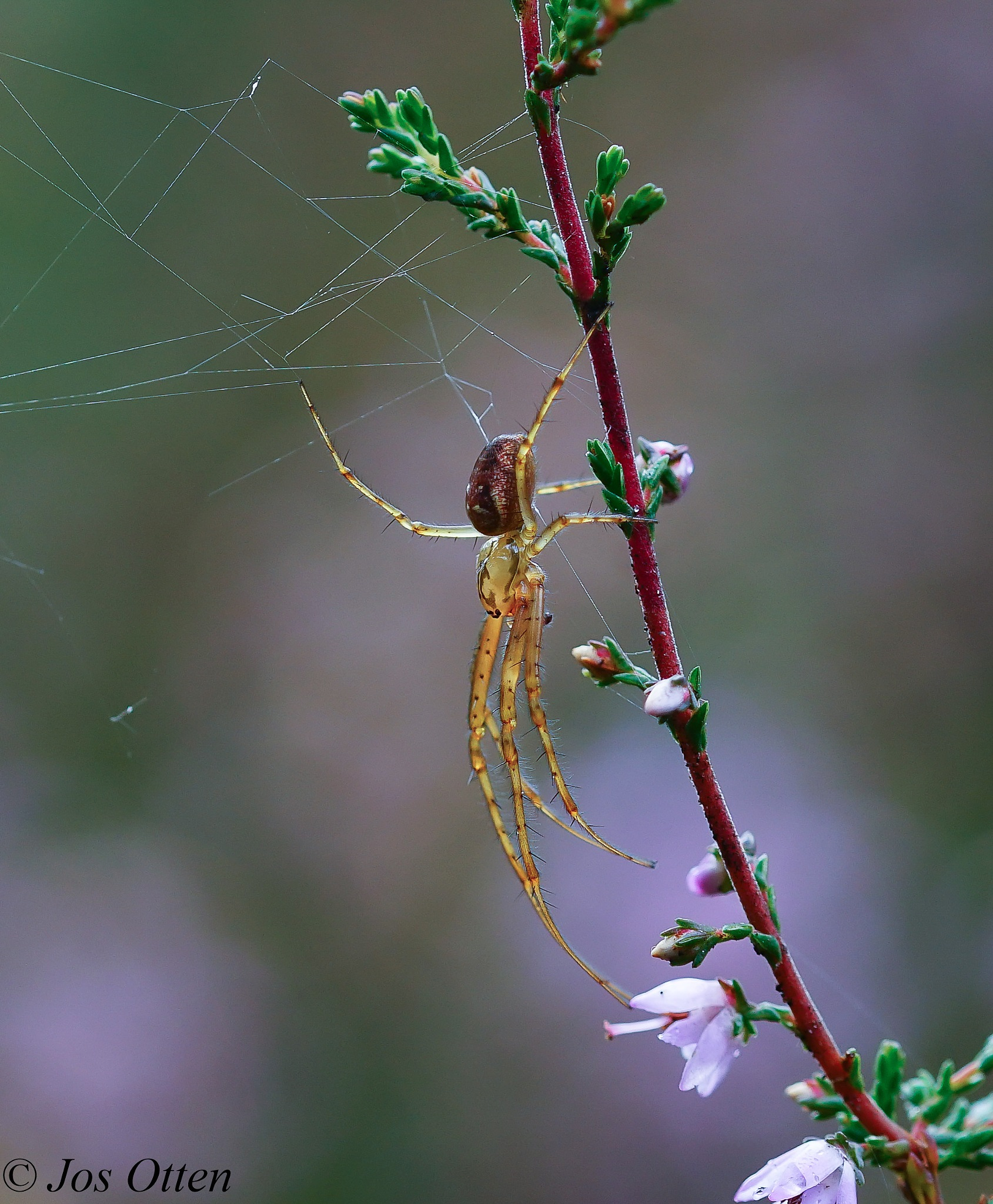 little spider by jos.otten