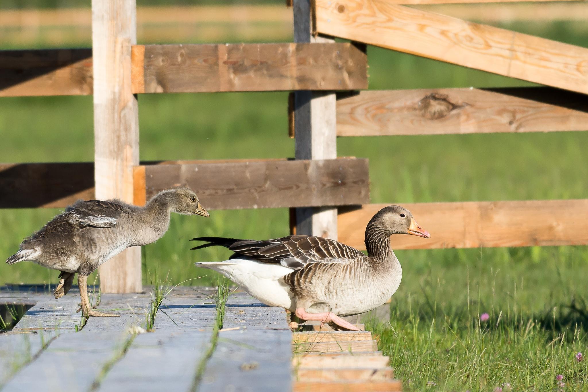 Photo in Animal #geese #bird #nature