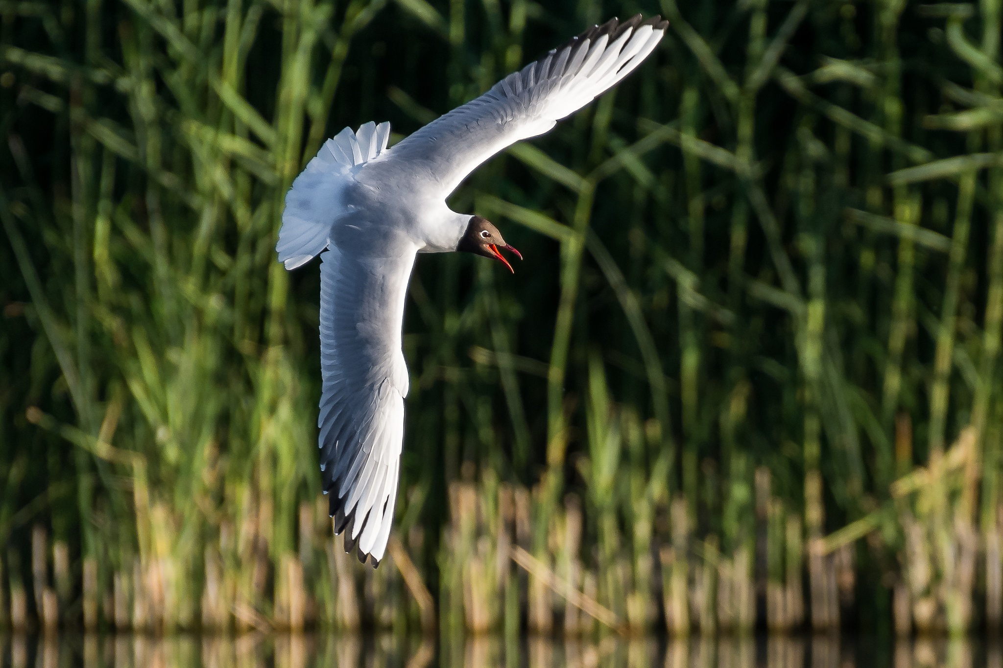 Photo in Animal #gull #bird #nature